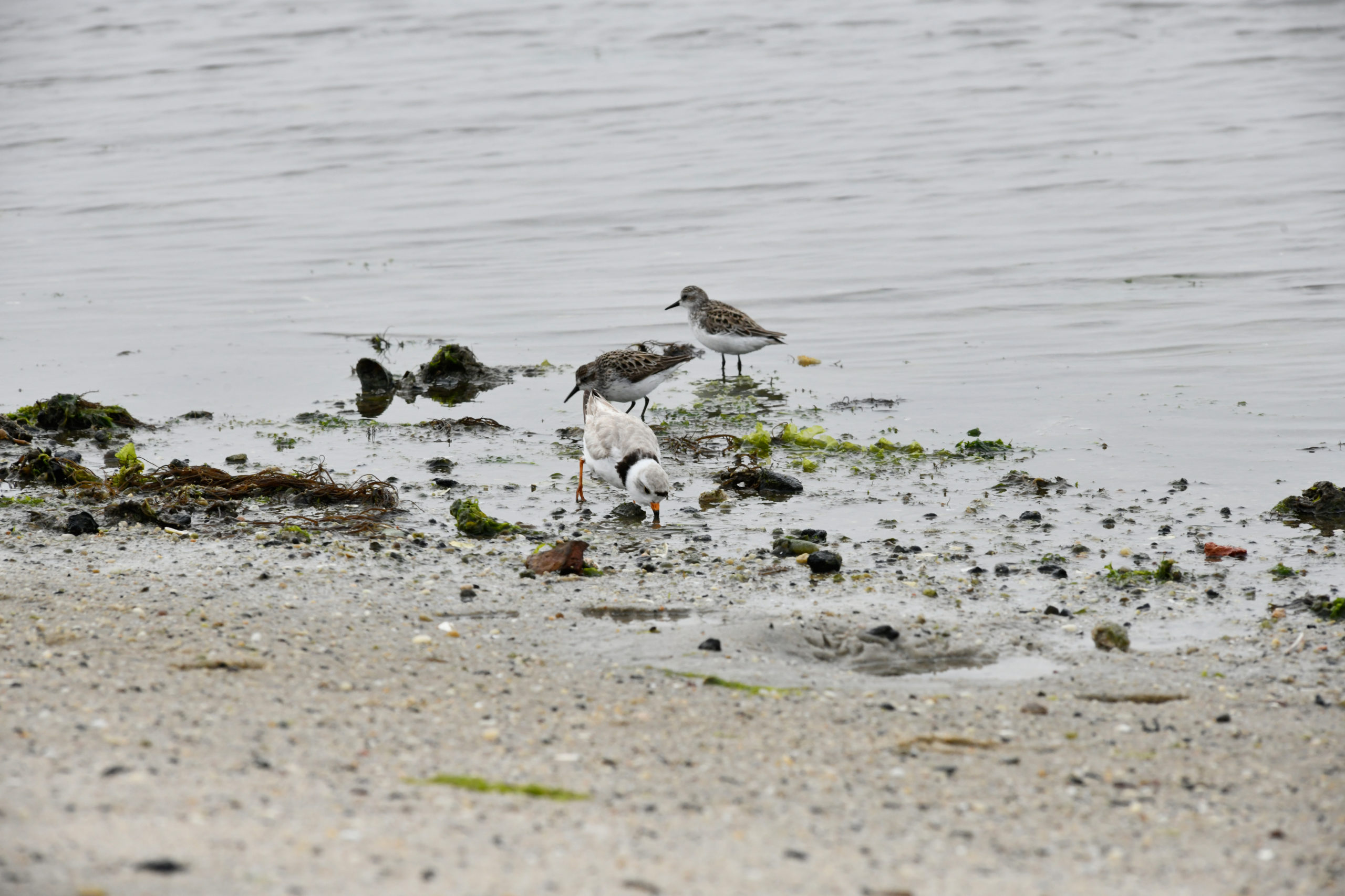 Shorebirds feast on horseshoe crab eggs at Pikes Beach the day after  the mating frenzy.     DANA SHAW