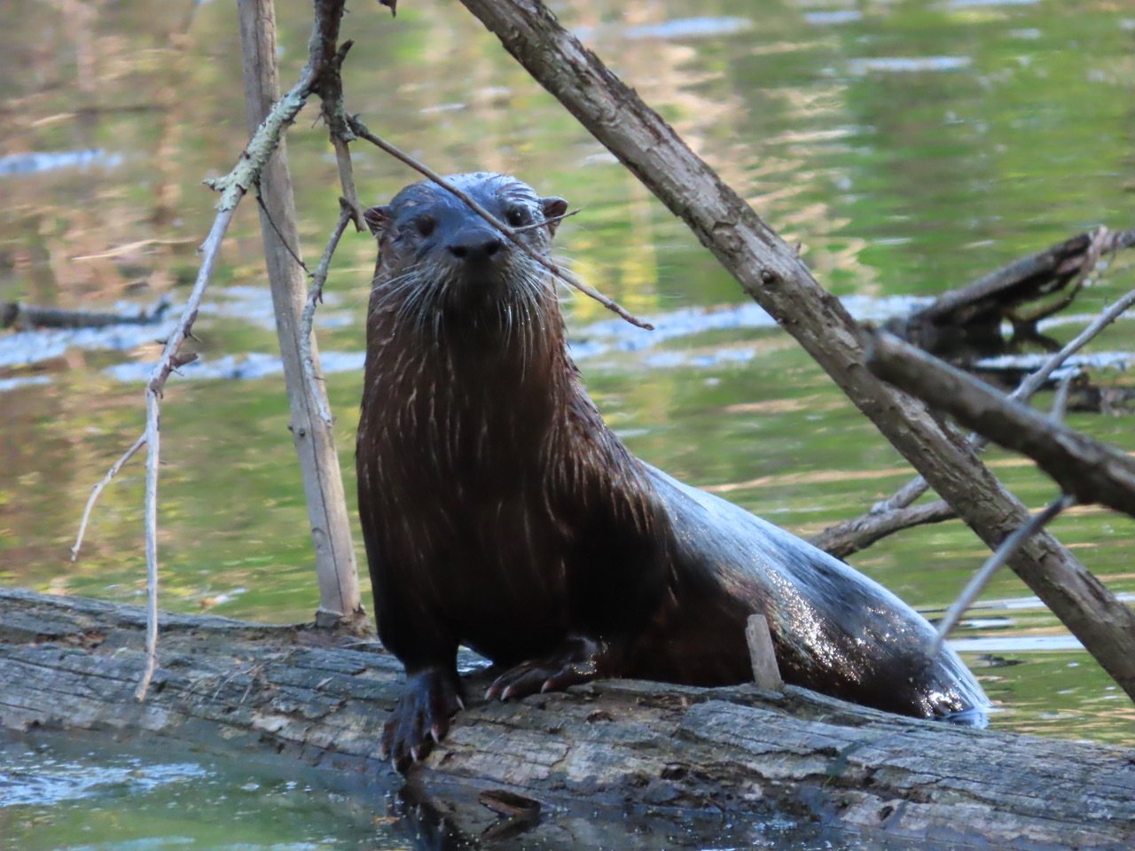 A curious otter in Huntington poses for a photo.