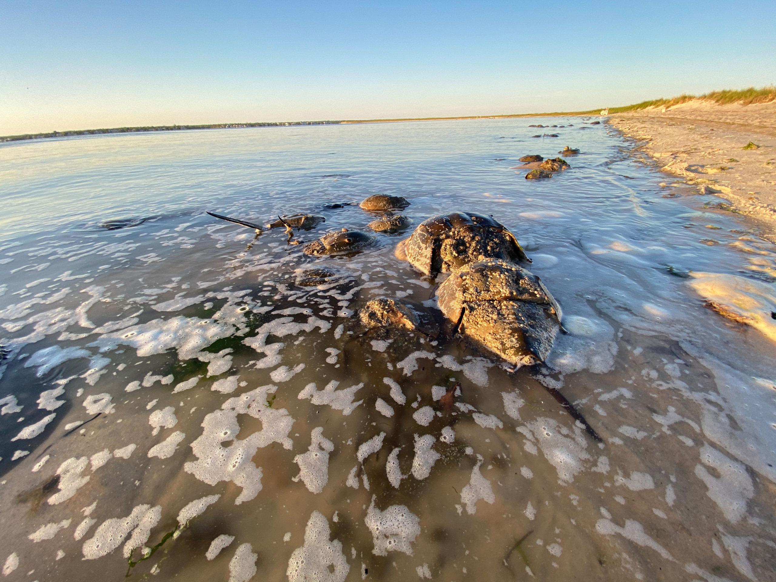 Horseshoe Crabs mating at Pikes Beach on May 24.  DANA SHAW