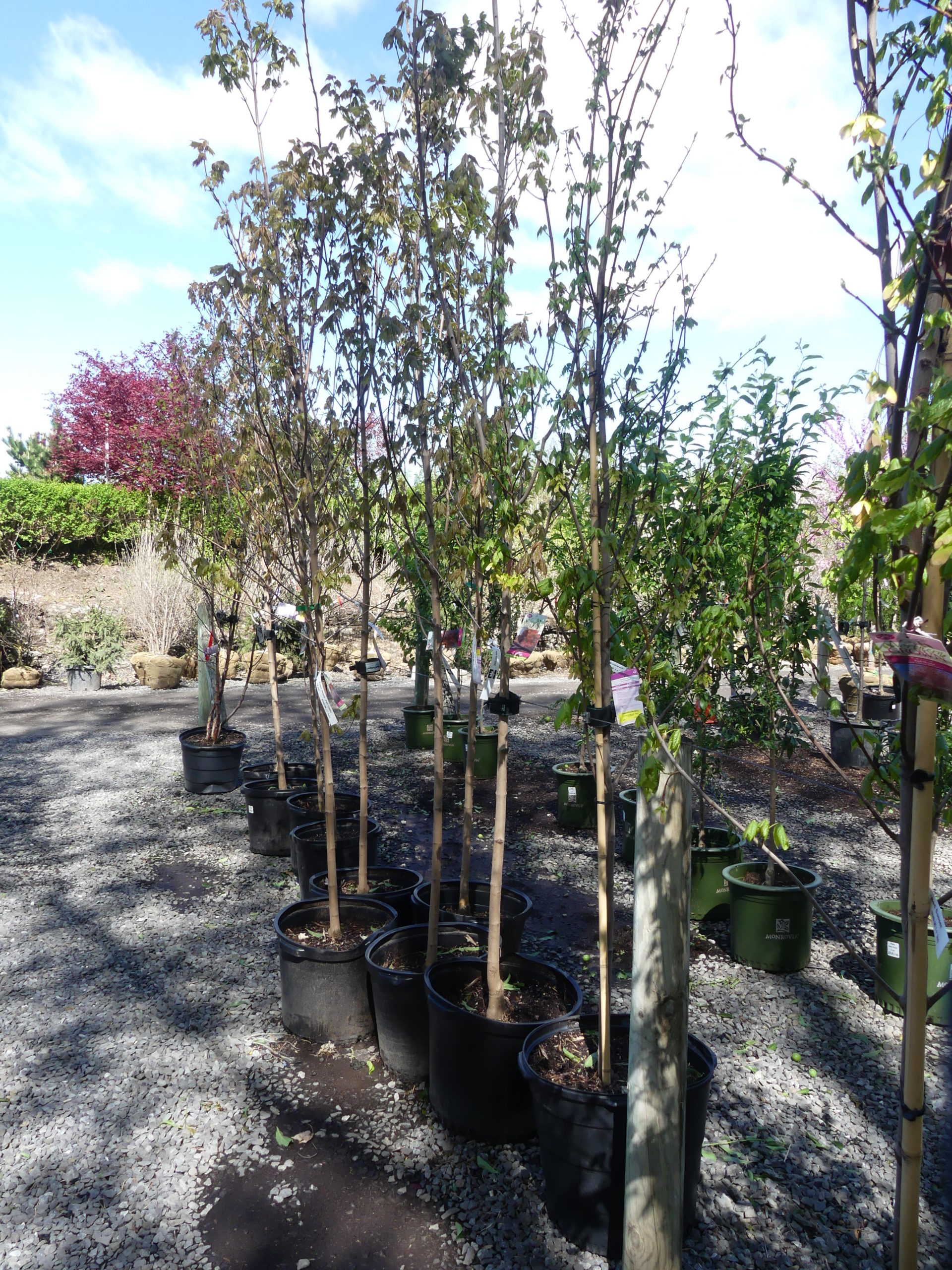 These container-grown maples are not expensive but their form and pruning leaves much to be desired. Container-grown trees and shrubs need special care when planting or the roots will continue to grow in circles, often resulting in years of decline before failure.