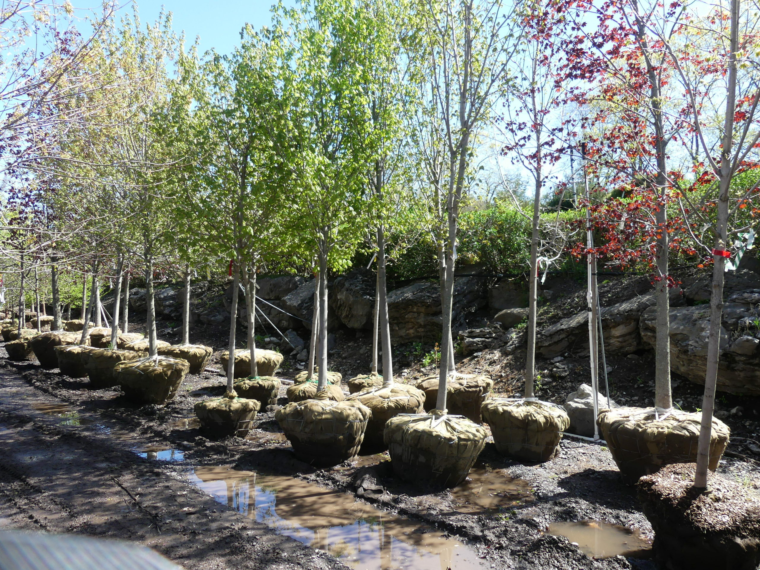 These balled-and-burlapped maples are much more expensive than potted ones, but when planted and watered properly their survival rate can be excellent. Remember, no fertilizer the first year after planting.