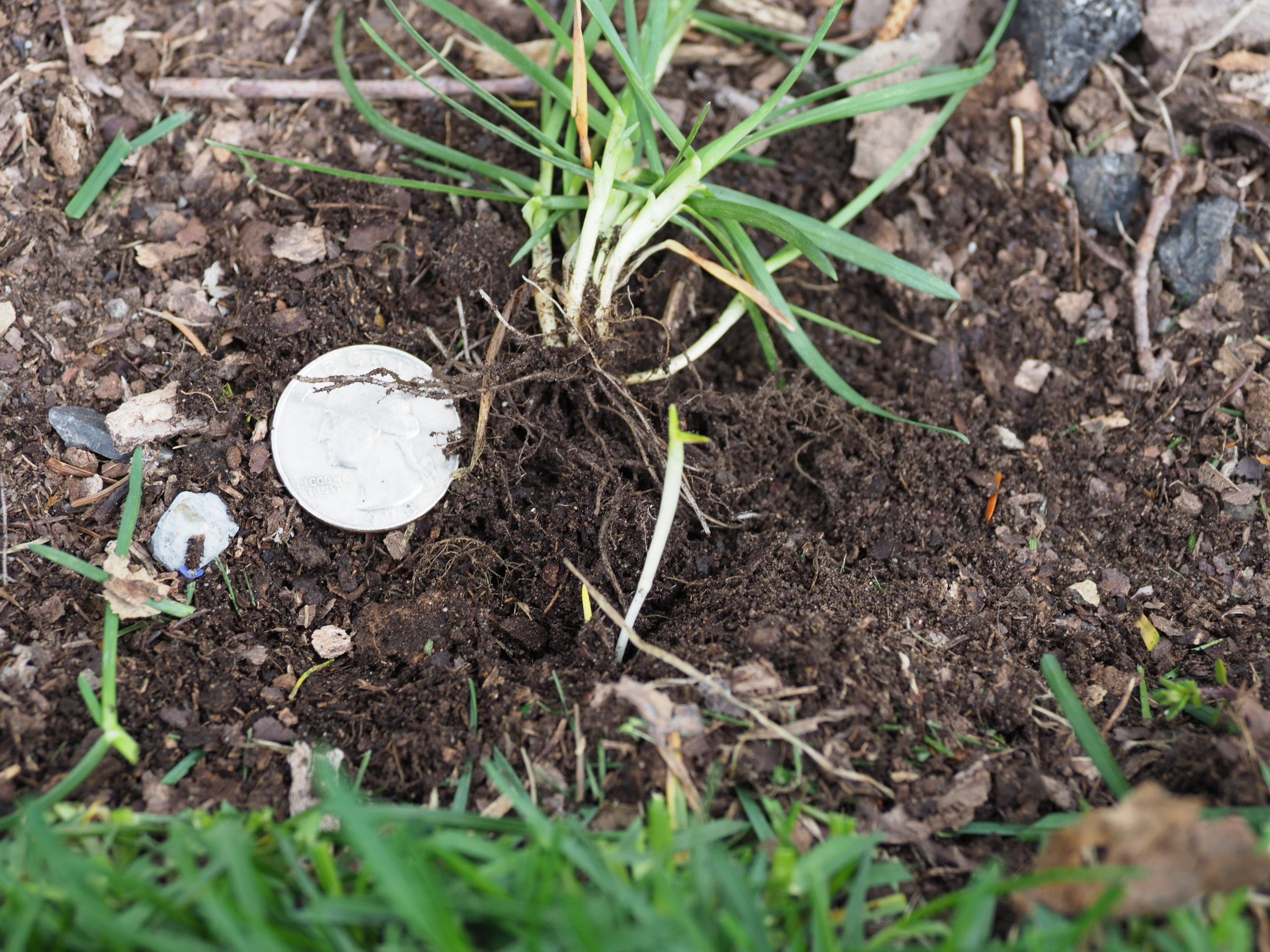 """When the grass """"sprig"""" above the quarter is pulled up it reveals not just its root system by the white-colored rhizome (about an inch to the right of the quarter) that ventured from the lawn into the landscape bed starting a new plant. Edging and pulling can simply remove these volunteers."""