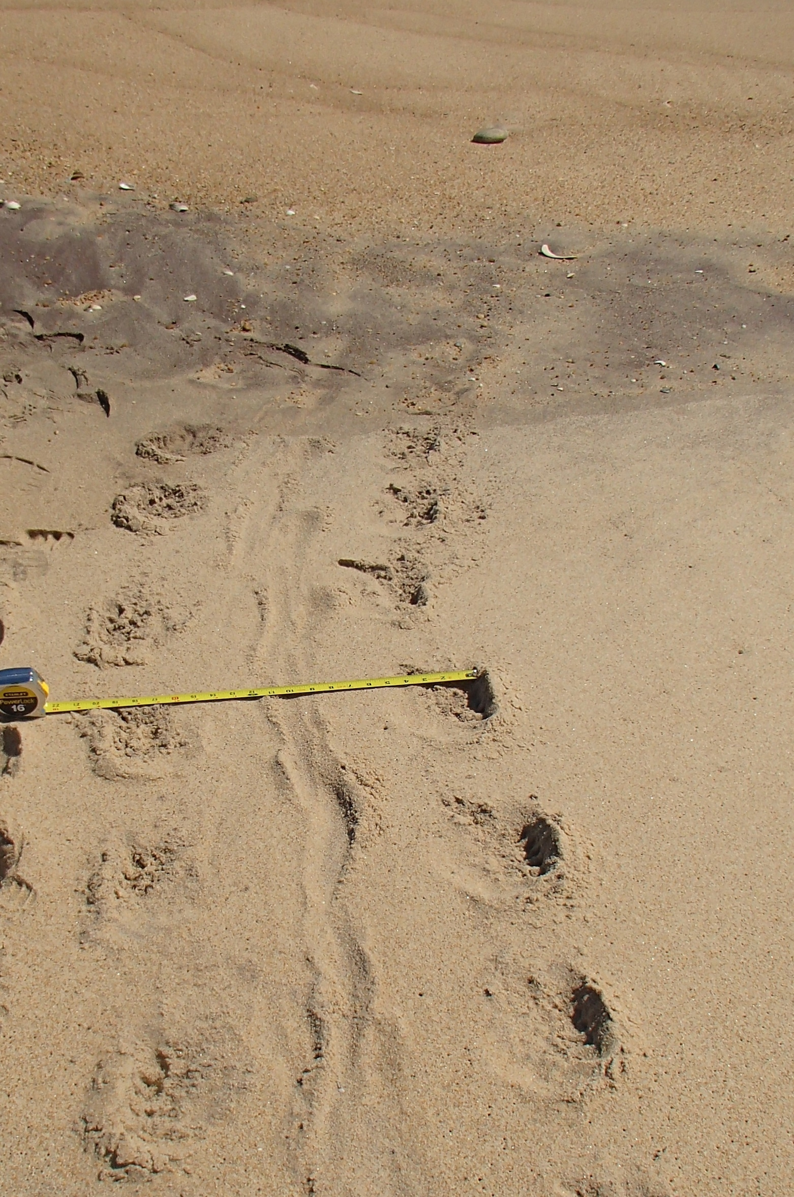 Photo 4: This 20 inch-wide track has five claw marks arranged parallel to the direction of travel: seal.