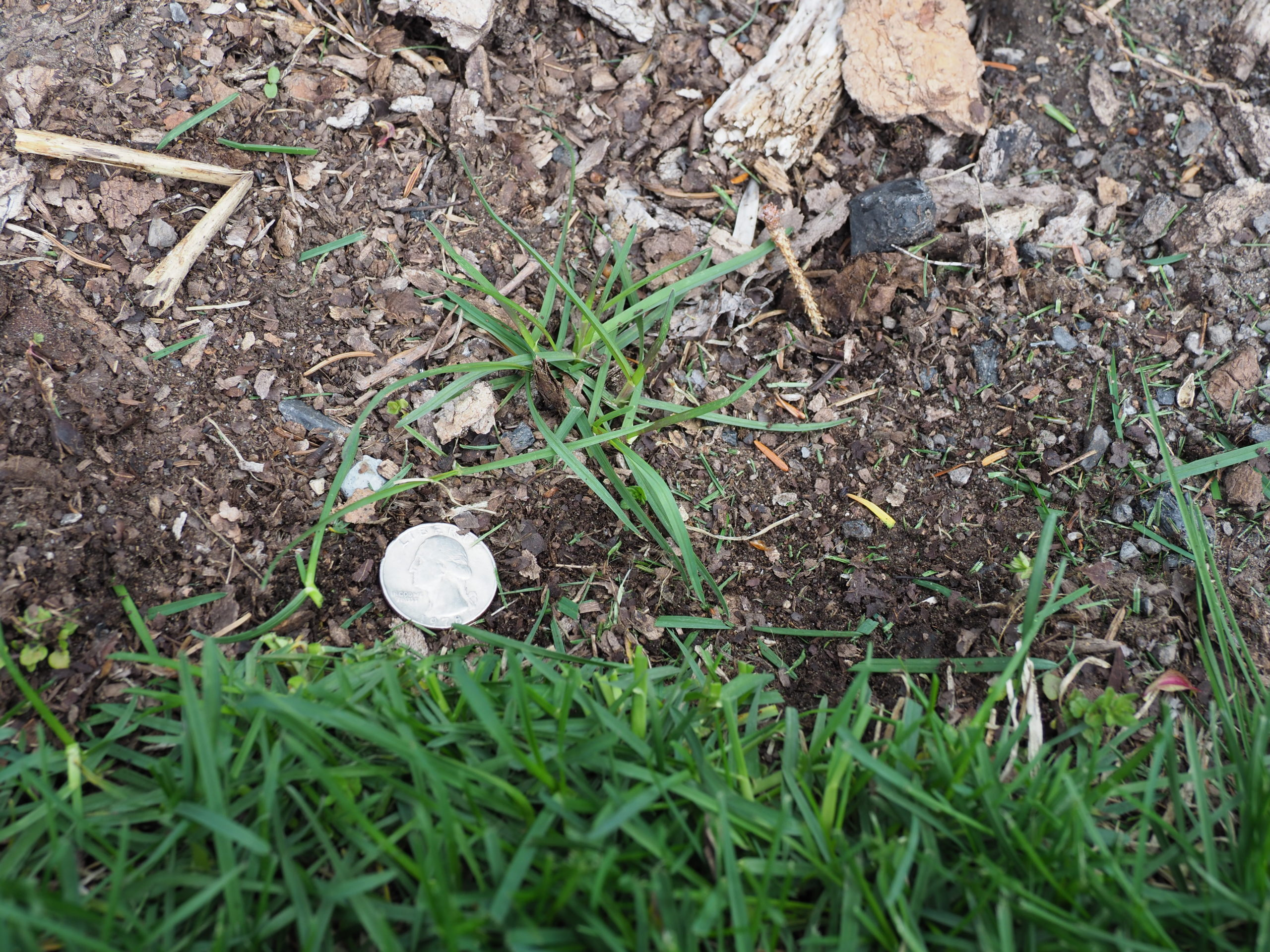 Just below the quarter is the lawn edge.  Above the quarter is what looks like a new grass plant, but it's not.