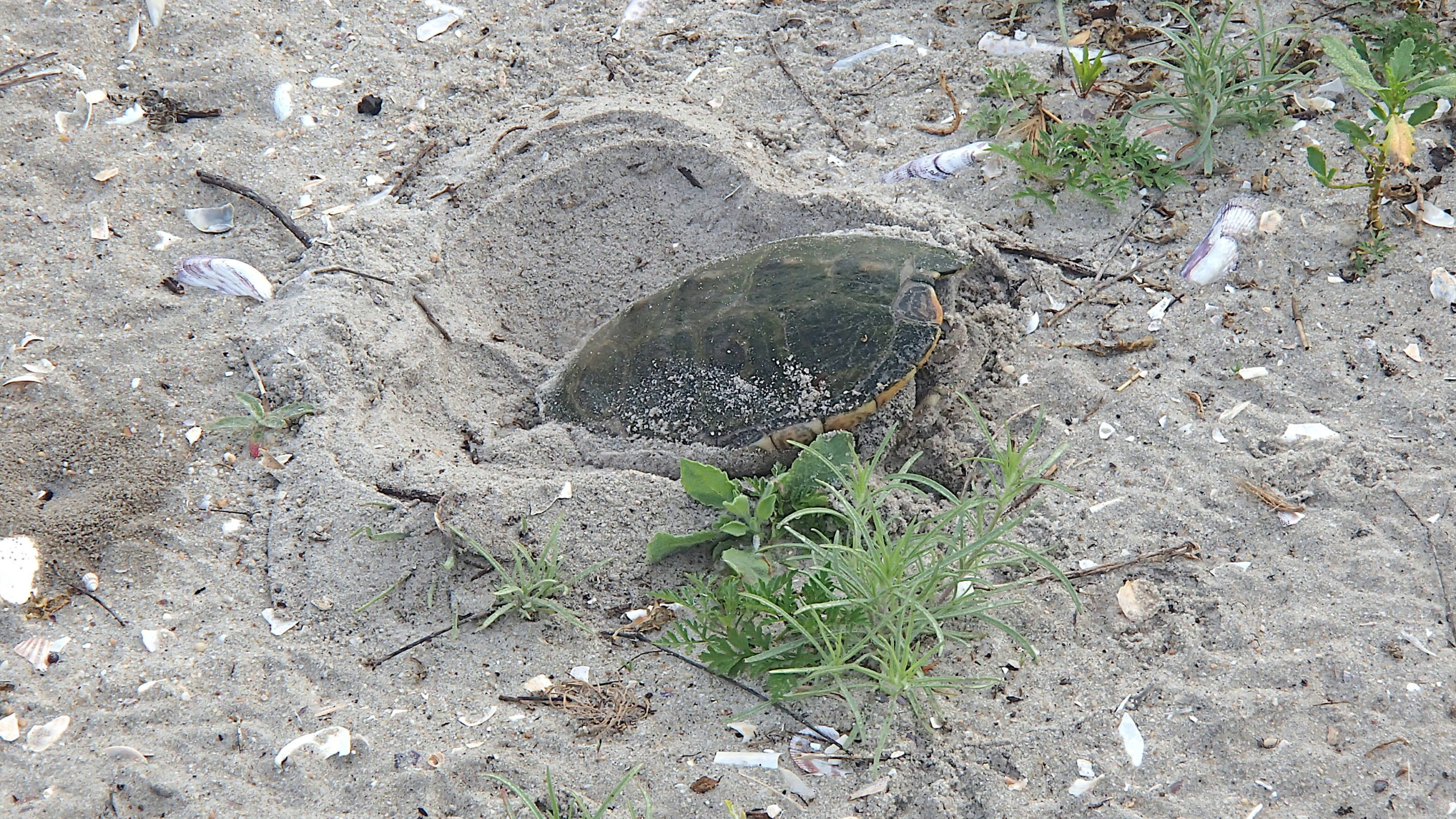 The females of all seven of our native turtles species are moving in search of suitable egg laying sites this month. This Diamondback Terrapins found one and is busy digging her nest. mike bottini photo