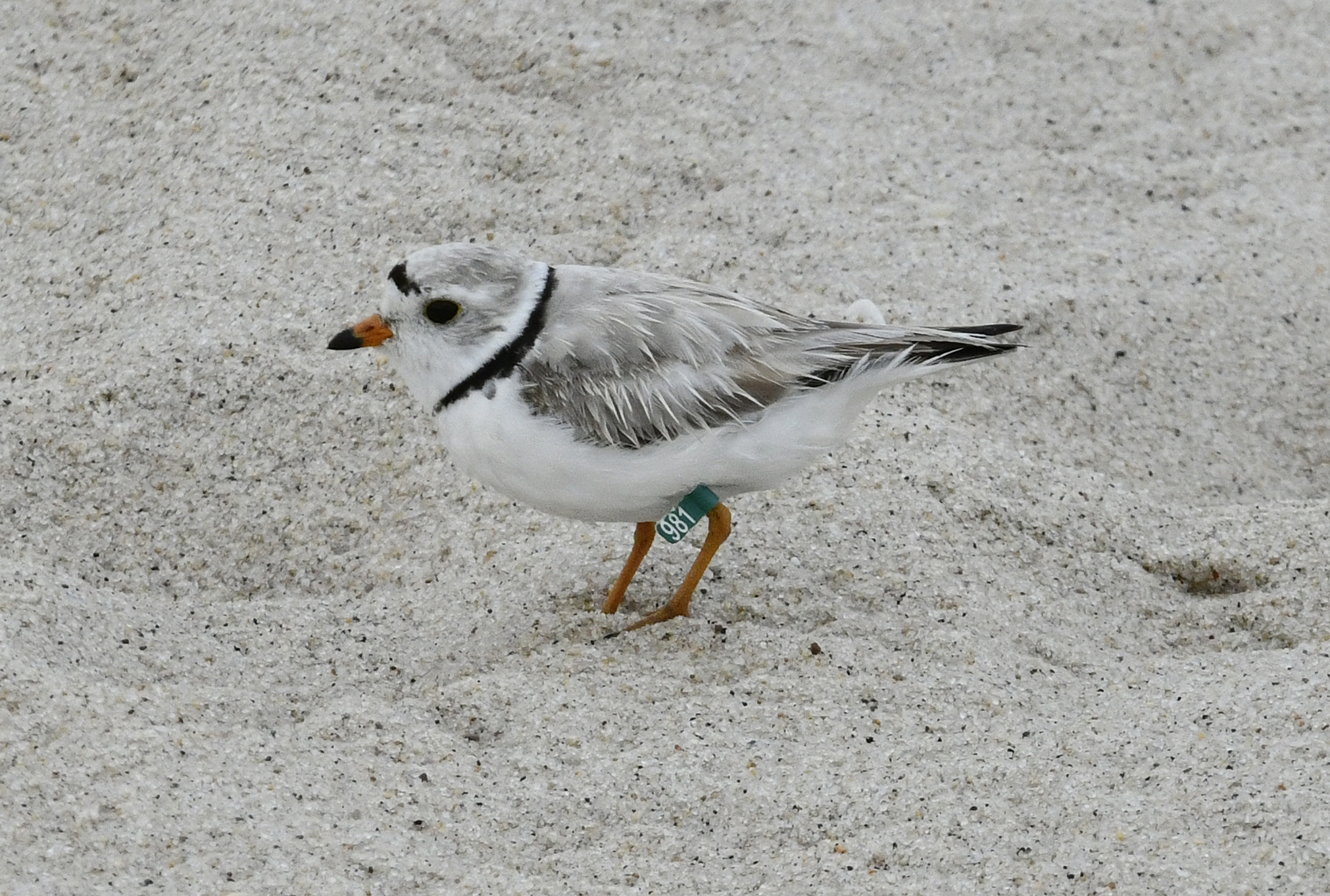 A piping plover on the beach near the