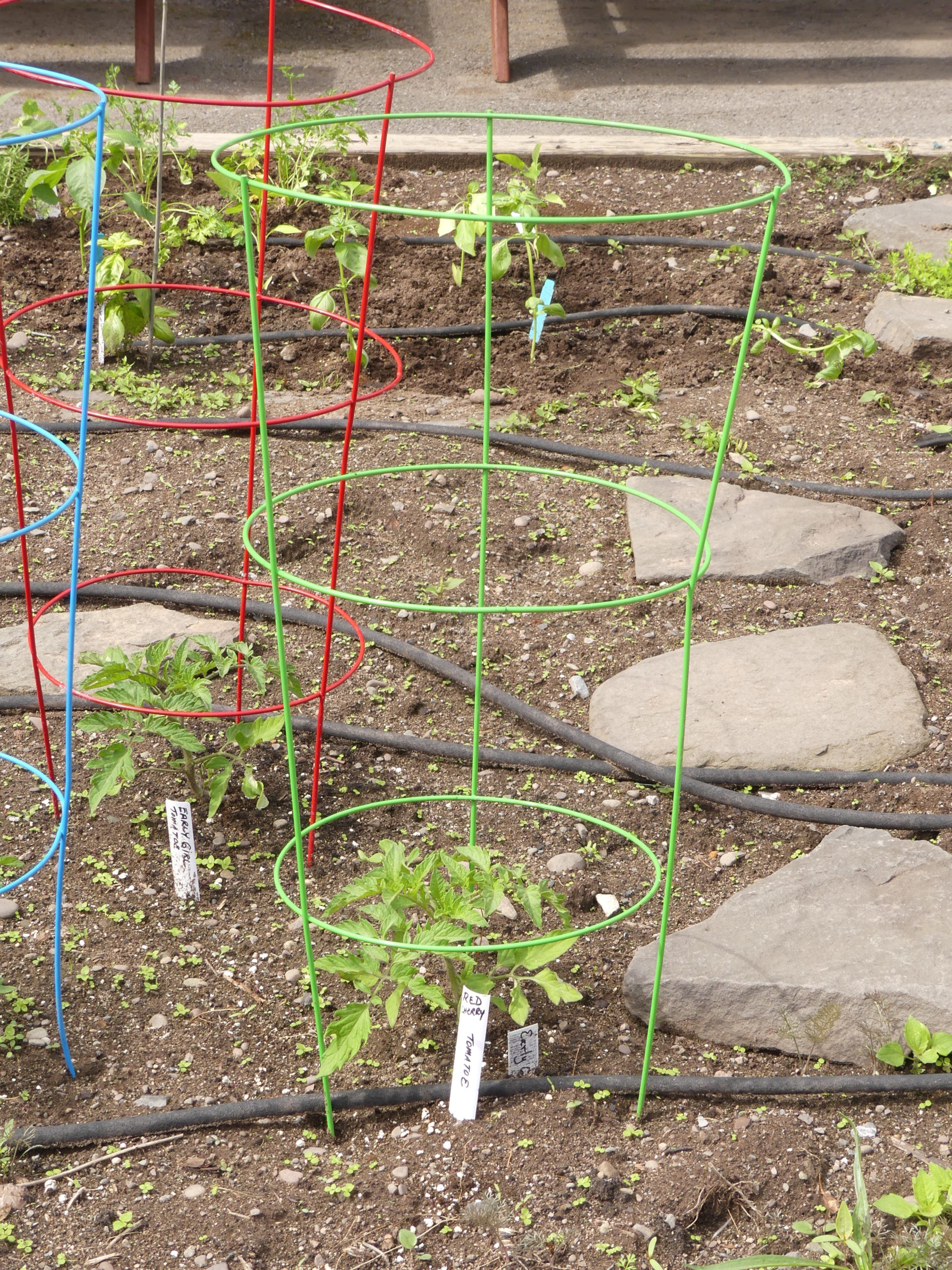 """The tag says """"Early Girl,"""" but it also says """"Red Cherry."""" Early Girl is actually an indeterminate tomato yielding 6-to-8-ounce fruits on 8-foot-tall plants. Not a cherry. Correct labels can be very helpful. Early caging is a plus, though. A cage for an 8-foot-tall plant may not be very successful, though. ANDREW MESSINGER"""