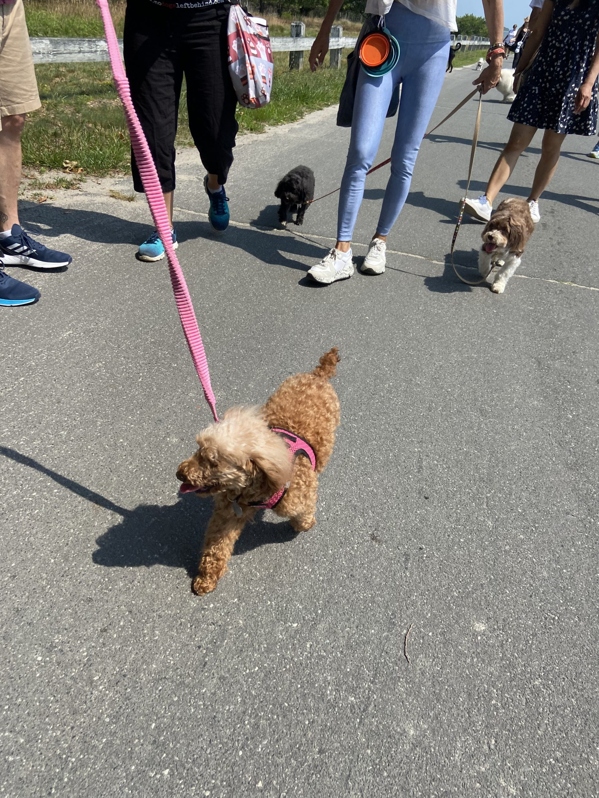 Tulip, who was rescued from China by No Dogs Left Behind, joins the walk