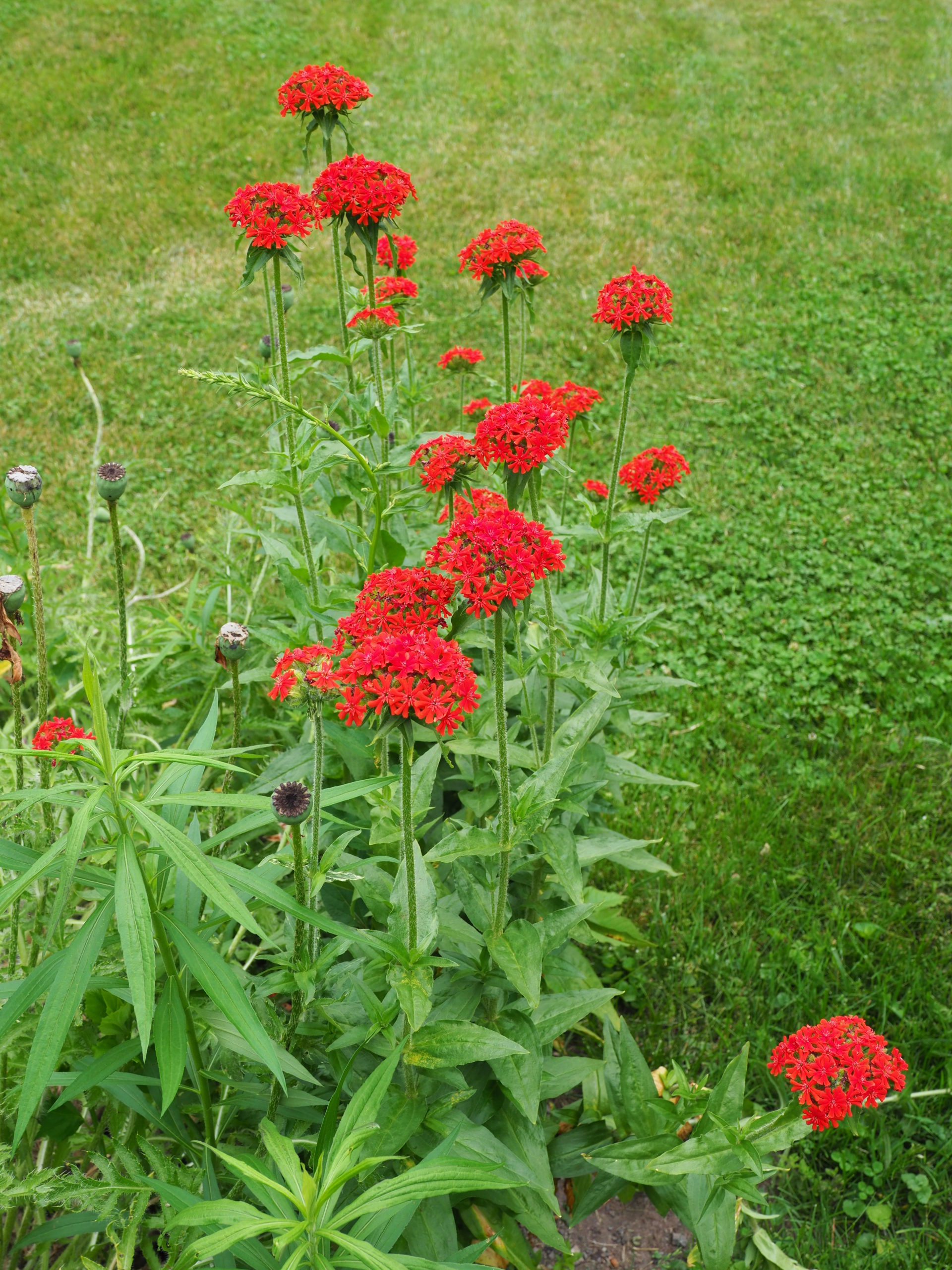 The poppies having faded and left their seed heads atop the flower stems the Lychnis chalcedonica (Maltese cross) begins to fill in and continue the brilliant color display.