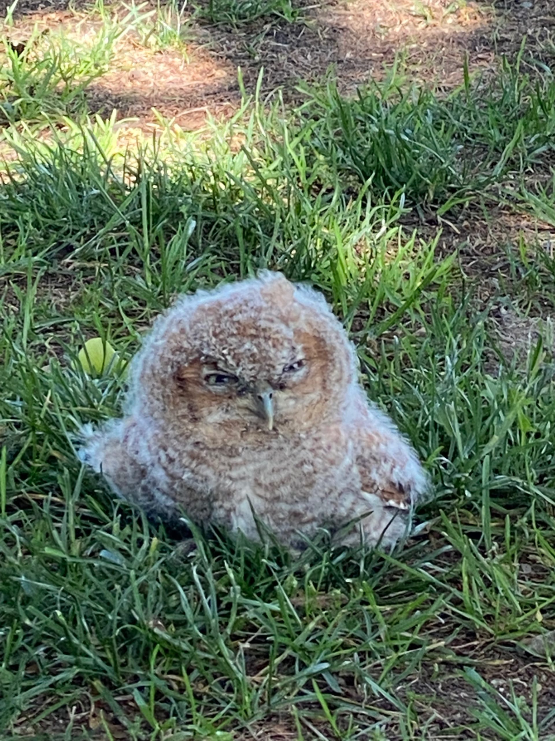 A screech owl fledgling that fell from a tree in Mashashimuet Park on Thursday was reunited with its siblings by wildlife rescuer Nick Marzano. JACKIE HOVING