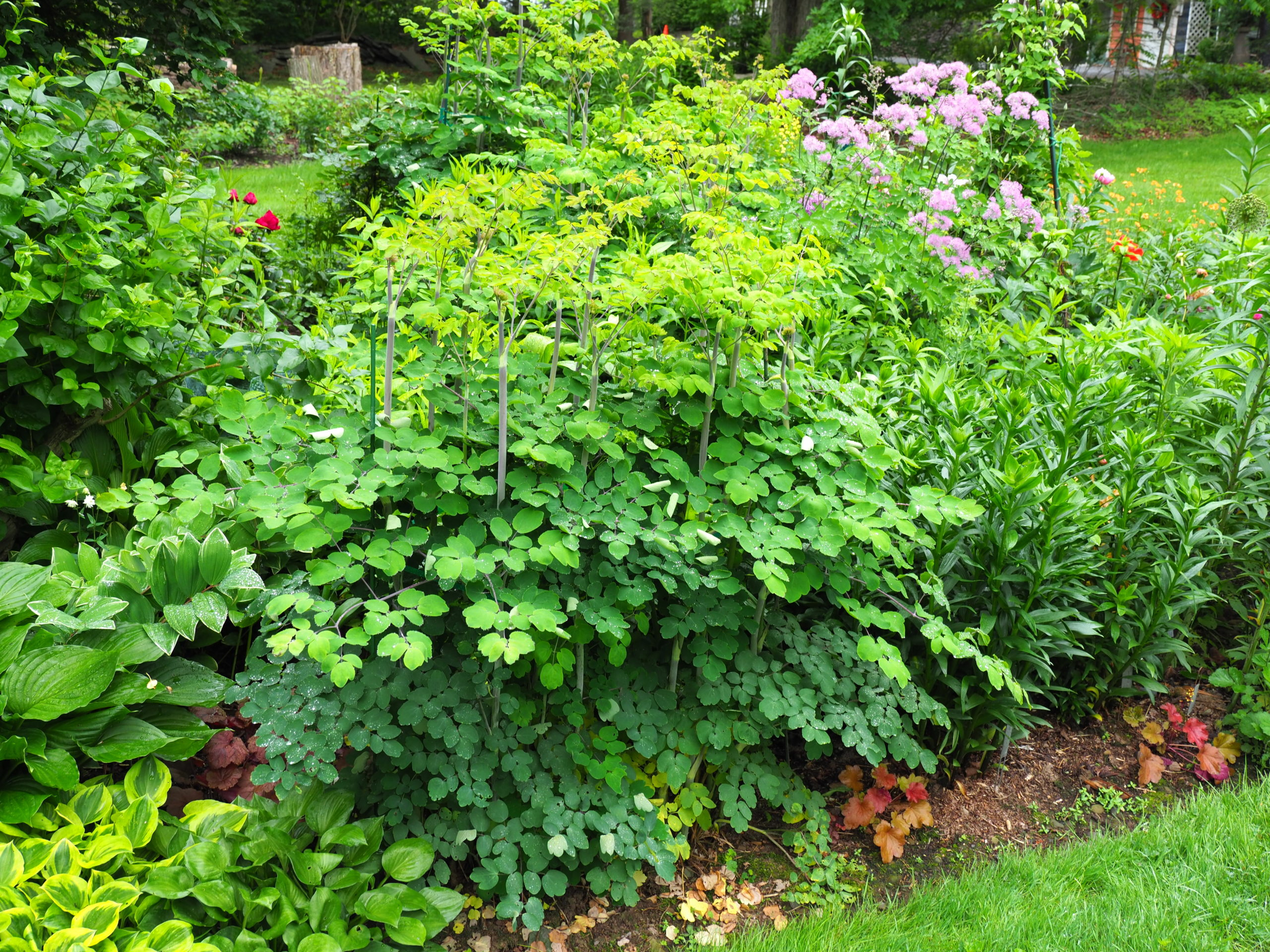 The plants in the front (center) are a variety of thalictrum that will grow to about 6 feet tall.  In the picture, they are only three feet tall but well staked and tied. Look carefully to the right side of the last stem and you'll see one Takiron stake above the foliage.