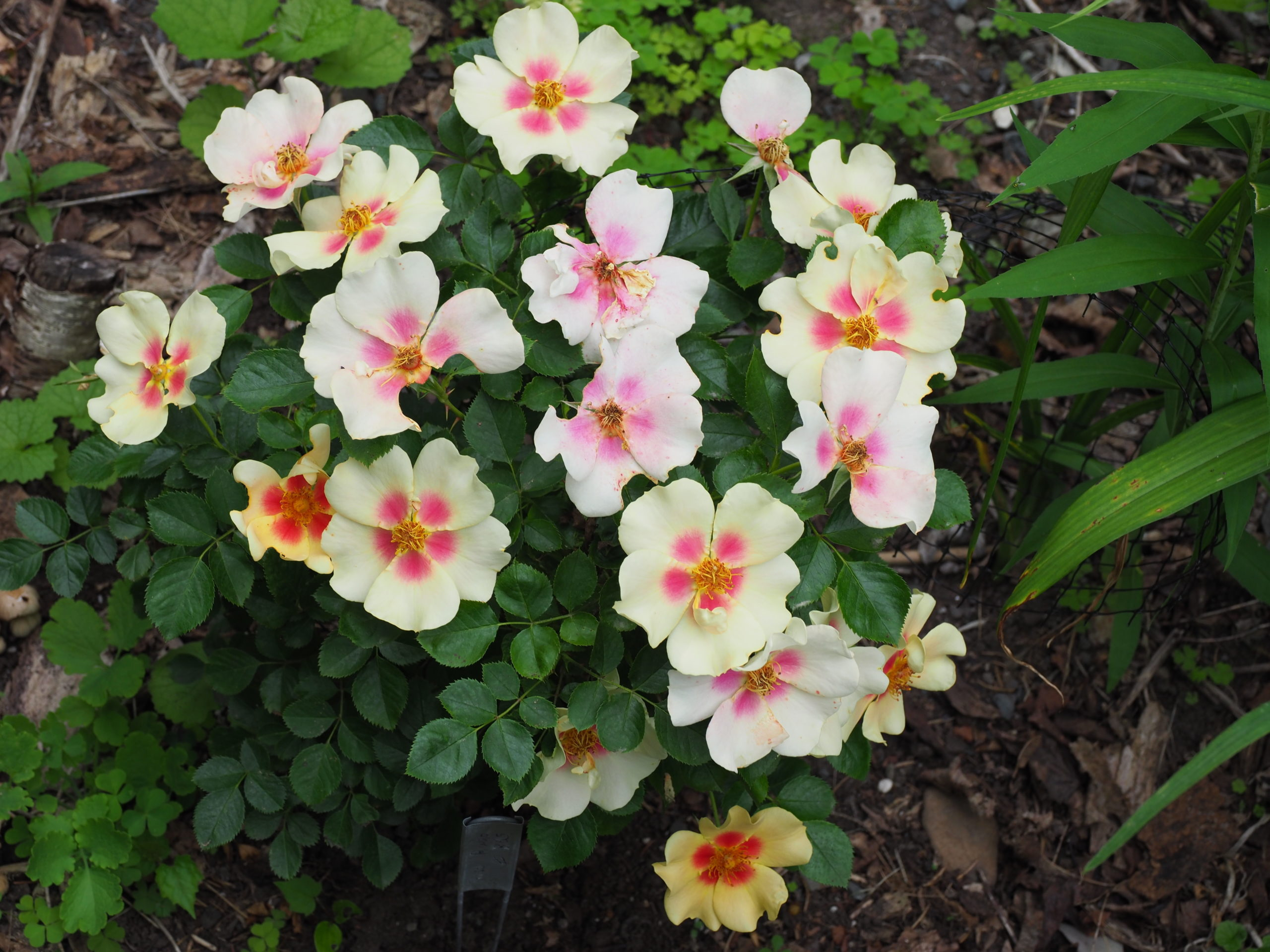 """Rose """"Ringo"""" is a new introduction with single flowers that open with yellow petals and reddish pink centers. As the flowers age their hue changes, but the plant continues to be covered with new flowers and buds. This plant is in year two of a trial, so stay tuned."""