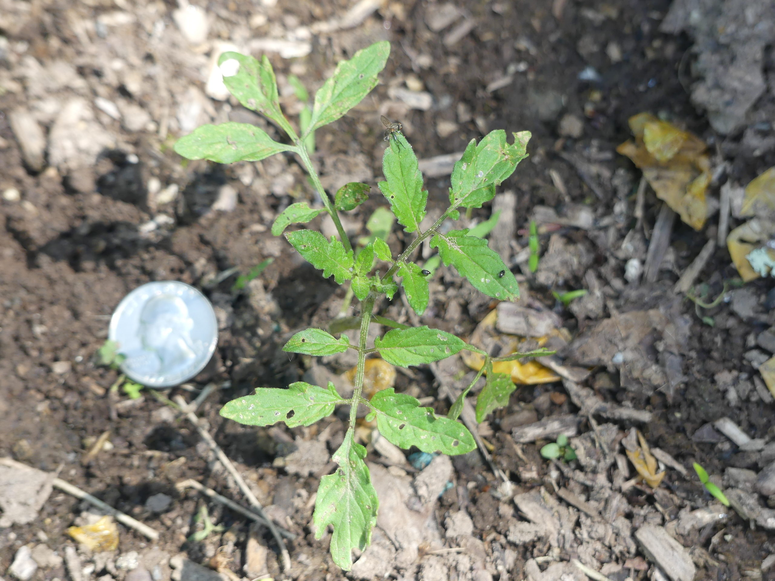 A Sweet 100 seedling that sprouted from a dropped fruit last summer. Will it pick up the soil-borne diseases resulting from poor sanitation practices? Stay tuned. By August, this 6-inch seedling may be 5 feet tall and 15 feet long with a root system covering 35 square feet. ANDREW MESSINGER