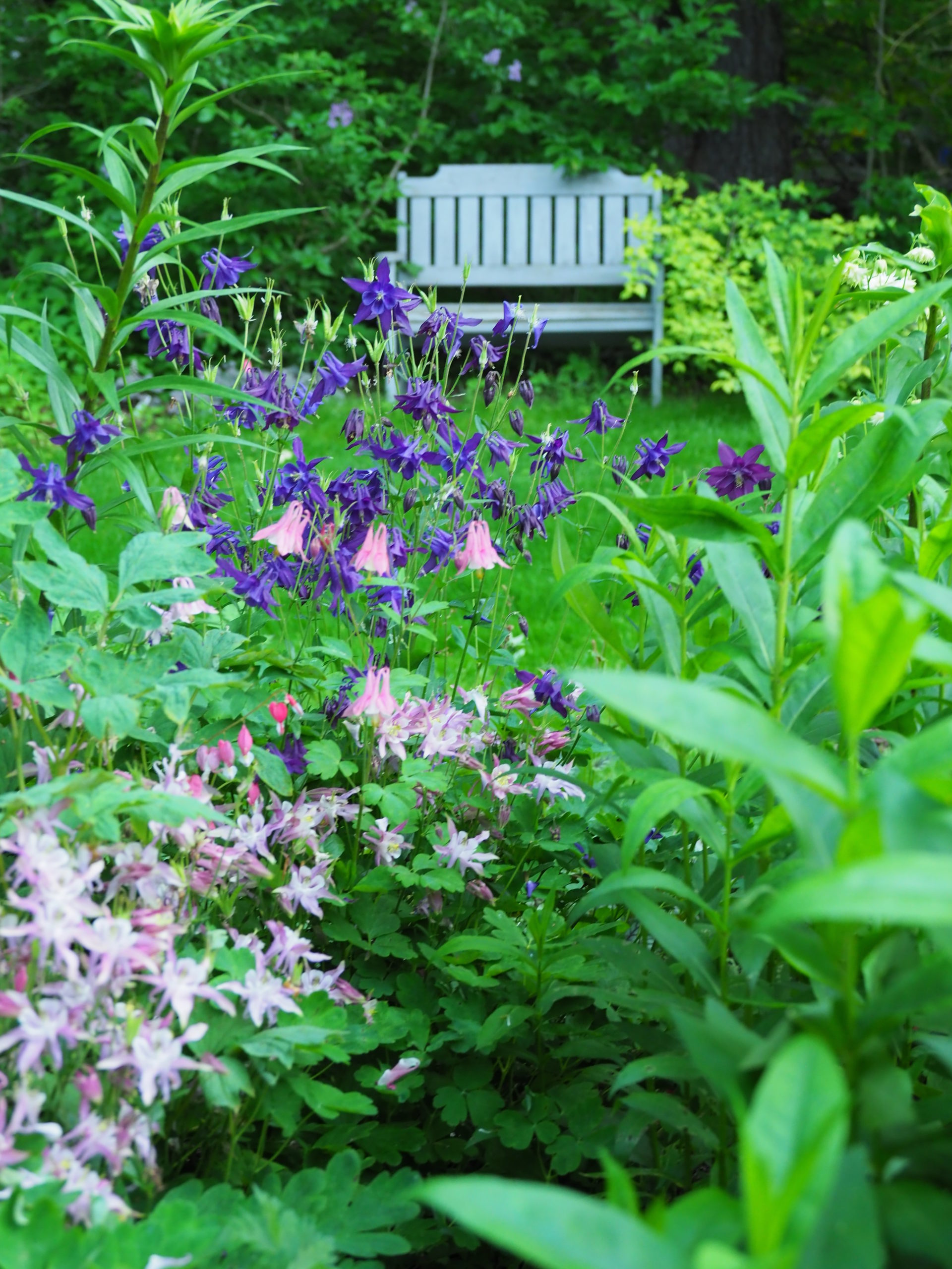 When columbines are allowed to cross pollinate in the garden this can result in an interesting show of Aquilegia colors, styles and heights if seeds are allowed to resow naturally or after being collected. ANDREW MESSINGER
