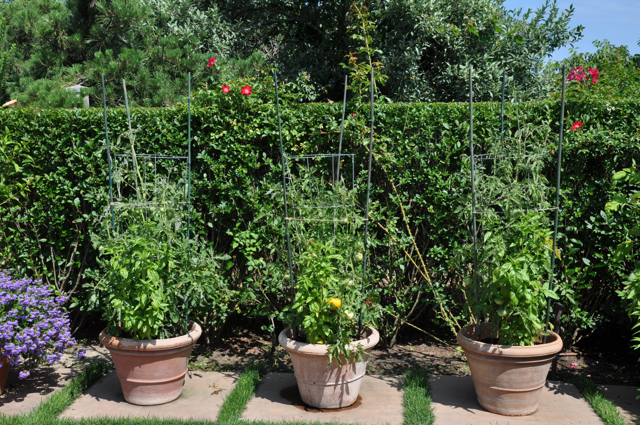Potted determinate tomatoes growing in an oceanfront, privet-walled garden in Southampton.  Remember that determinates still need support. ANDREW MESSINGER