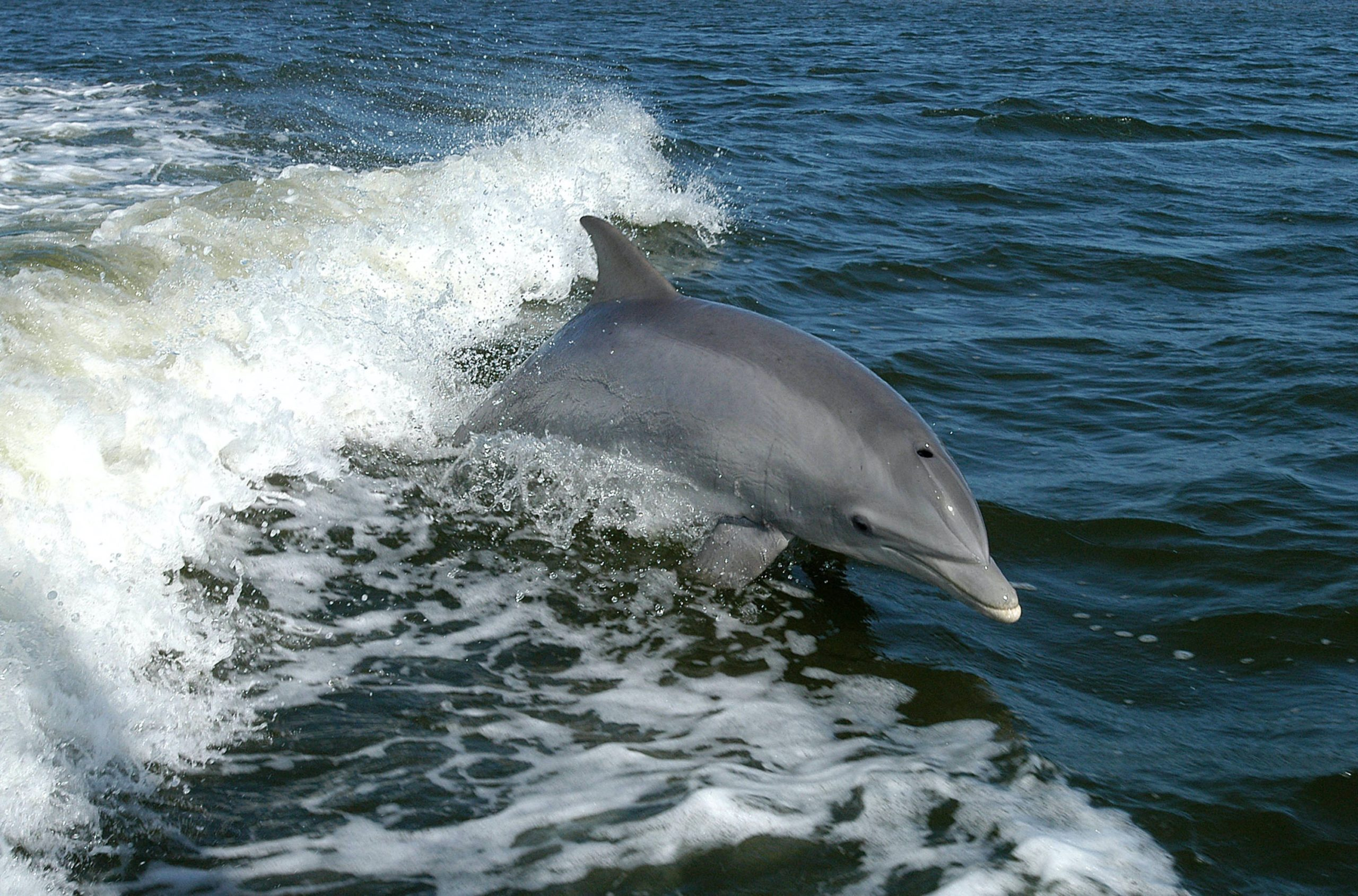 A bottlenose dolphin playing in a boat's bow wave.