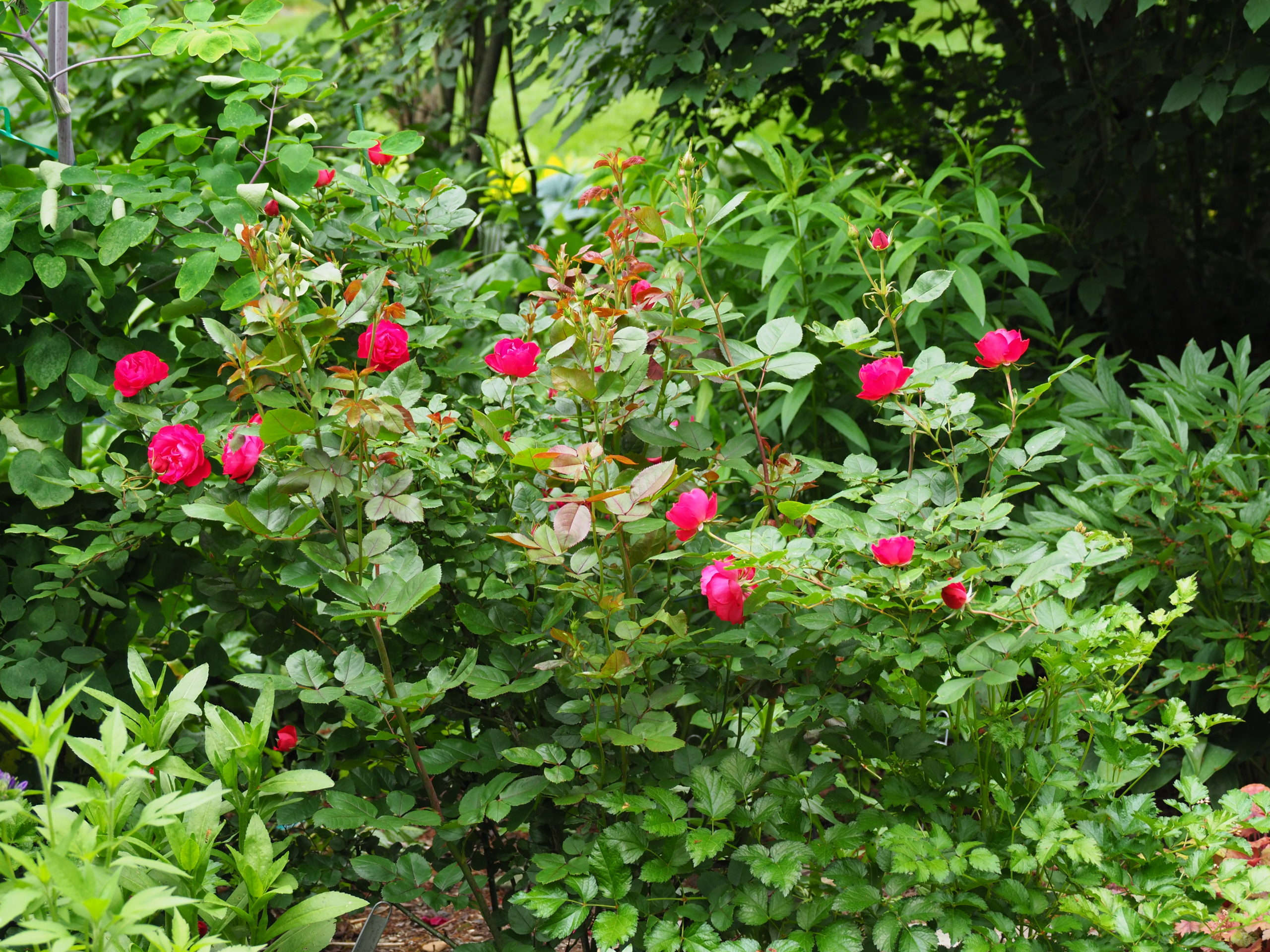 """Rose """"Oso Easy Double Red"""" has been a great performer blooming all summer long on a plant that needs little care other than spring pruning and feeding. The flowers glow late in the day."""