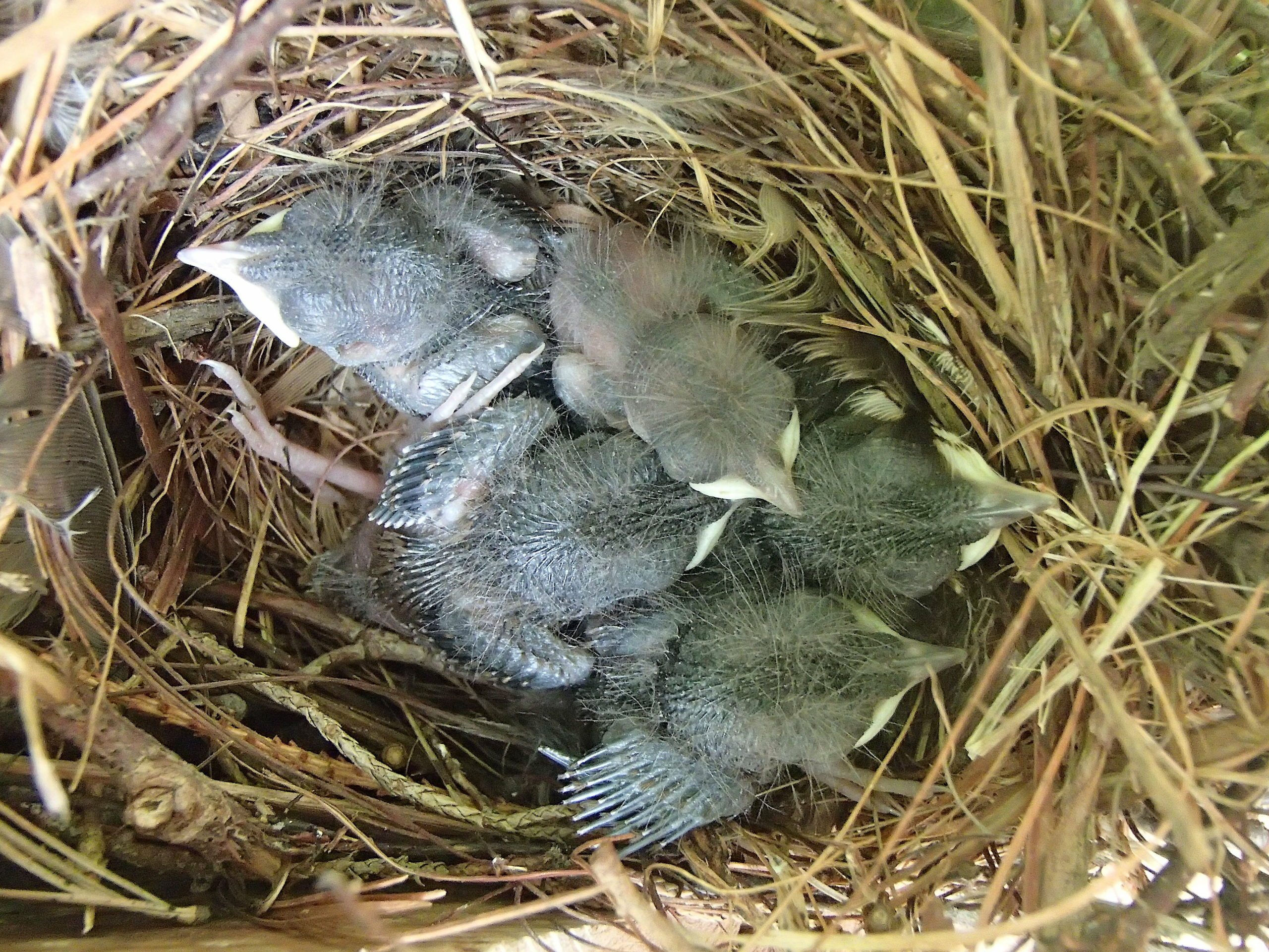 House wrens' second brood of 2021.  JACK GOLDEN