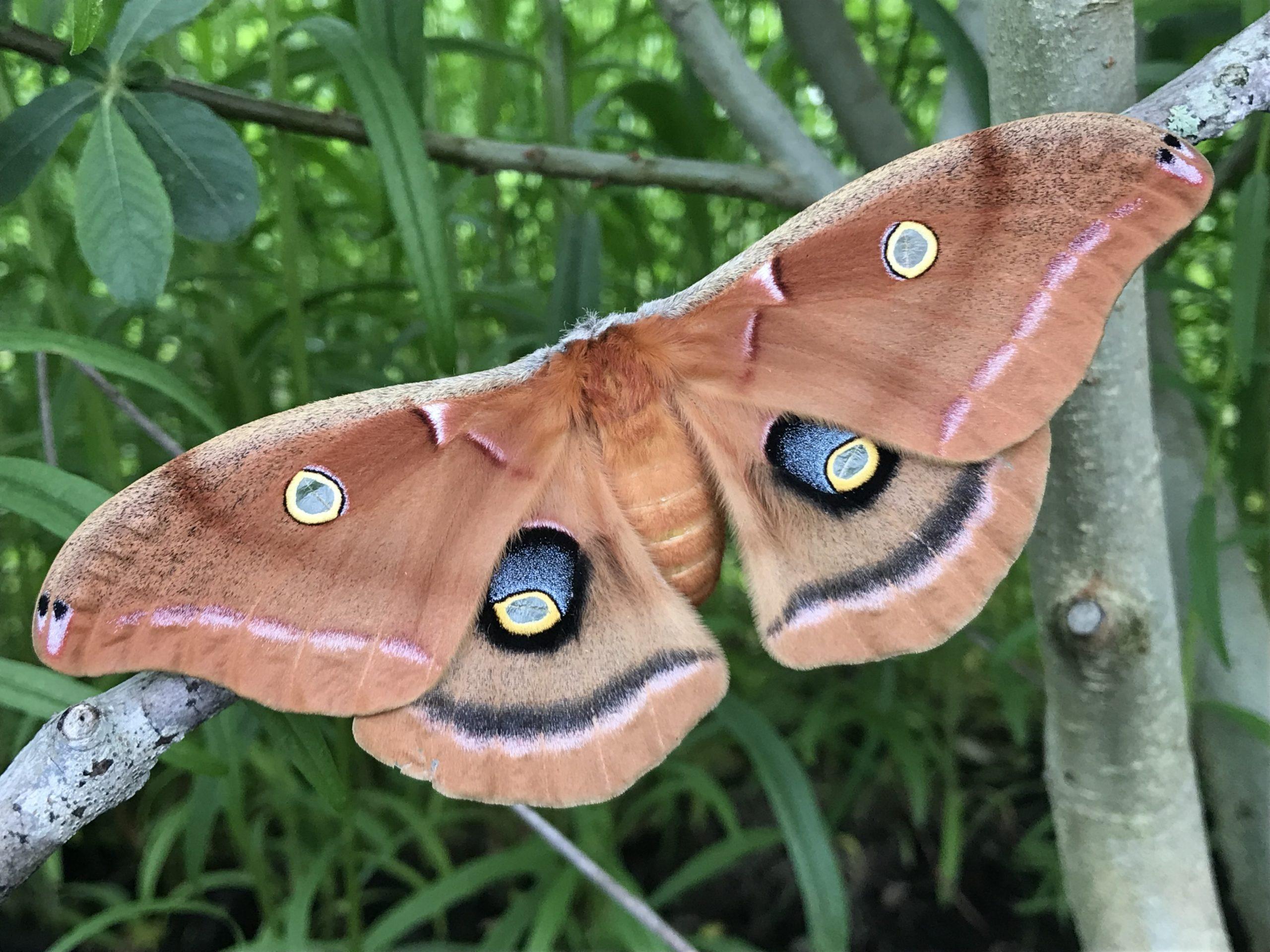Polyphemus moth, a North American giant silk moth,