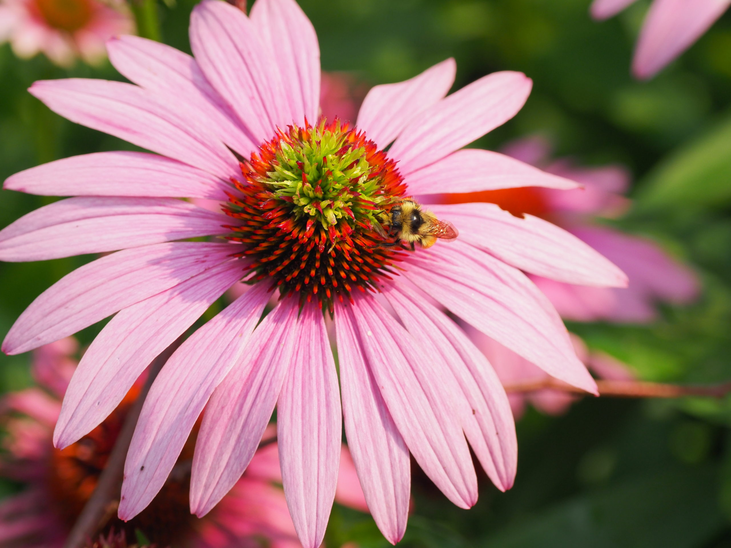 Echinacea purpurea is one of the true wildflowers in the family and attracts a number of pollinators including bees and butterflies.