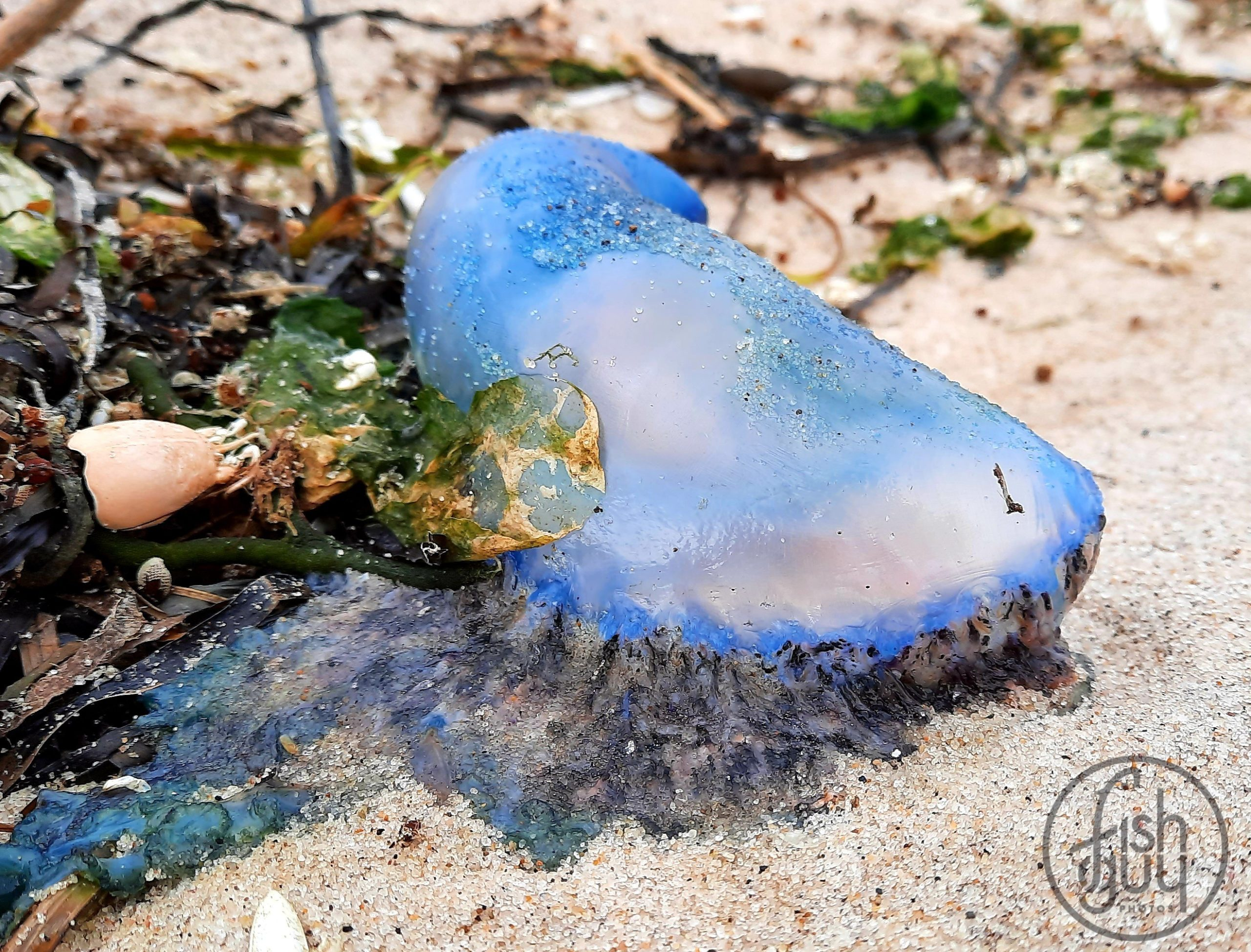 A Portugese man-of-war jellyfish on a local beach. Hundreds of the tropical jellyfish, whose tentacles pack a painful sting, have washed up on beaches in the last few days and can be dangerous for several days.