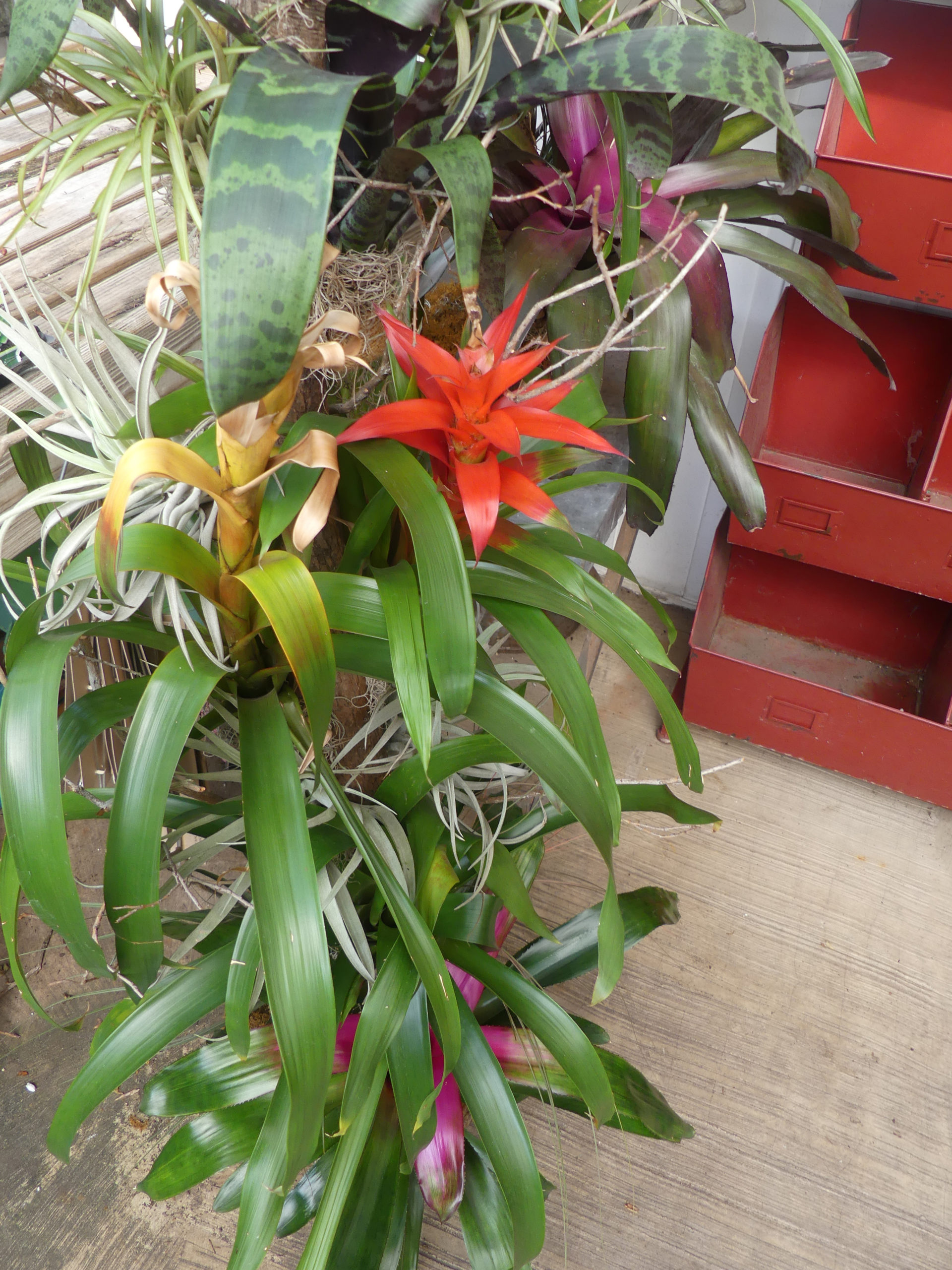 """Bromeliads and """"air plants"""" can have dramatic flowers and require little care other than moderately humid air and water in just the right spot. They look best when massed like these on a wooden totem or post. ANDREW MESSINGER"""