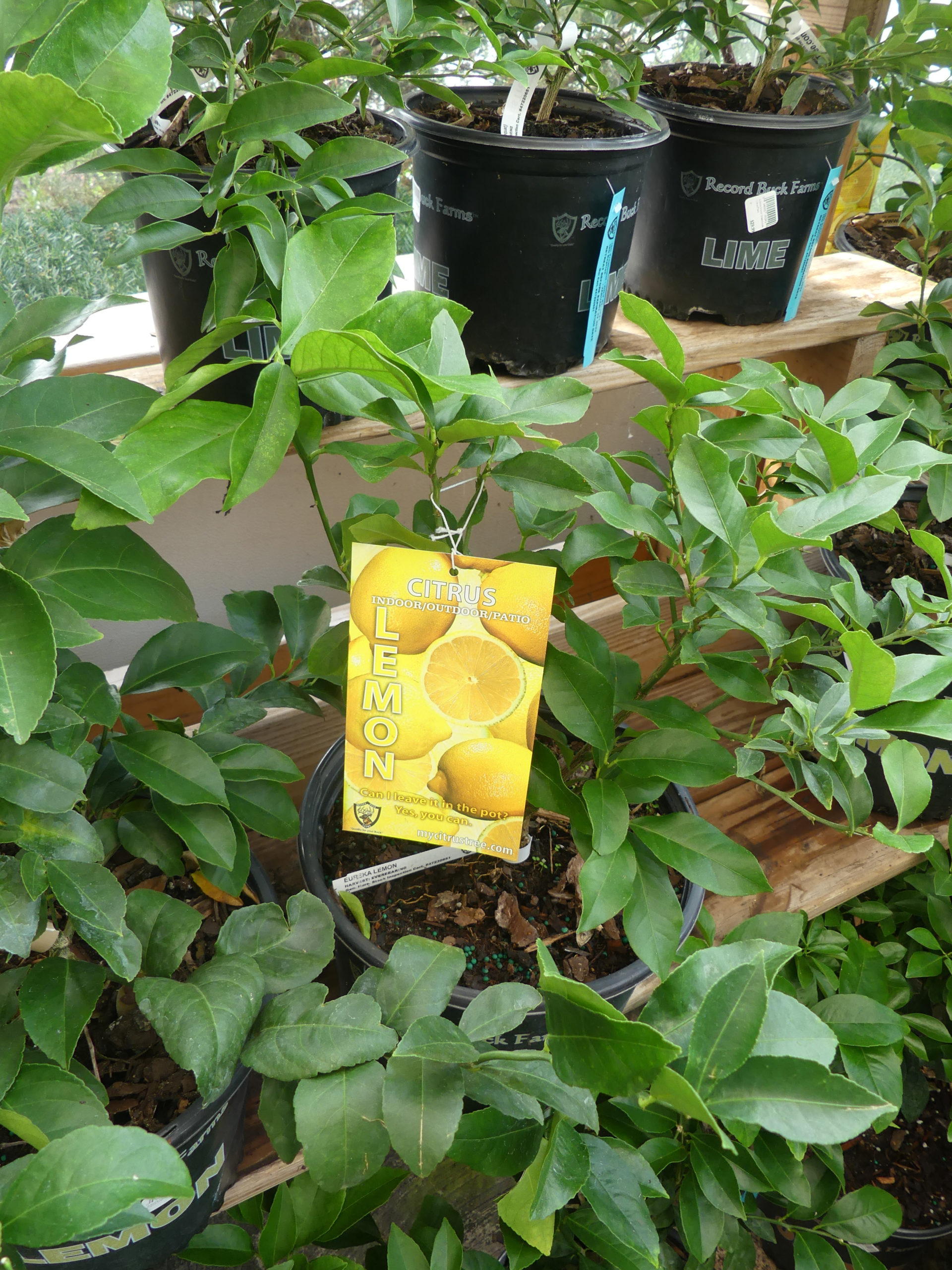 Lemons and limes are available as houseplants but in order to get them to flower and fruit you need a special day/night temperature drop of 10 degrees. Great for a sunroom, and most of these have edible fruits.
