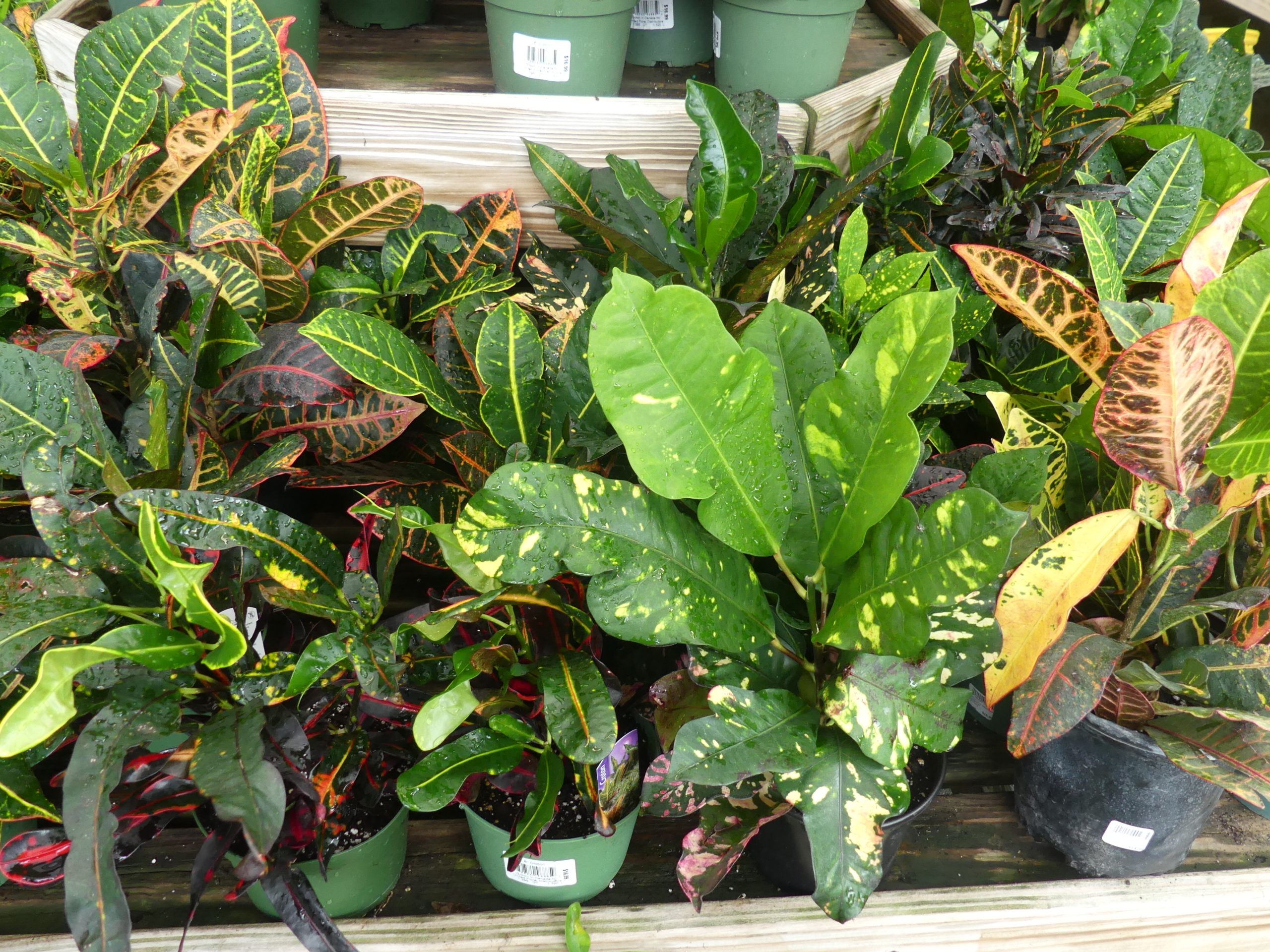 Crotons come in various foliage reiterations and color patterns. Very sensitive to cold temperatures they are plants that love being outdoors in the summer but need to come inside before Labor Day.  ANDREW MESSINGER