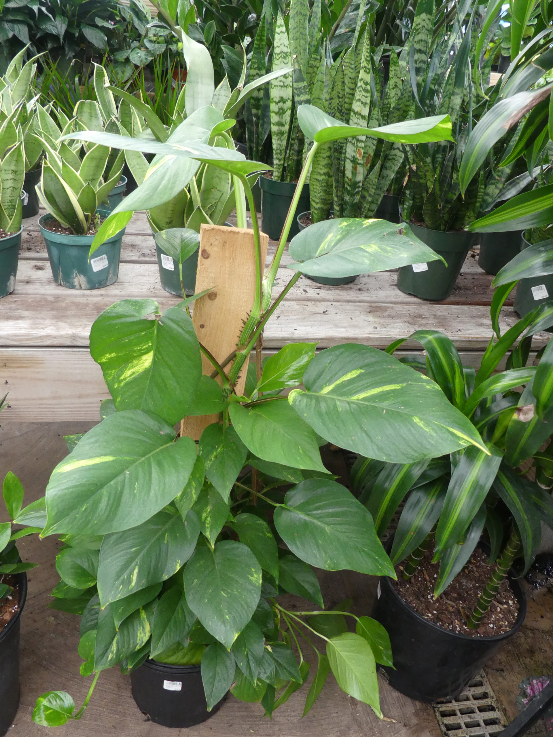 The golden pothos is a philodendron-like vine that grows in a basket or on a pole or bark post.  As houseplants the foliage rarely gets larger than 4 or 5 inches wide but in the wild the leaves can be several feet across. There is also a split-leaf variety. Good for low to medium light. ANDREW MESSINGER