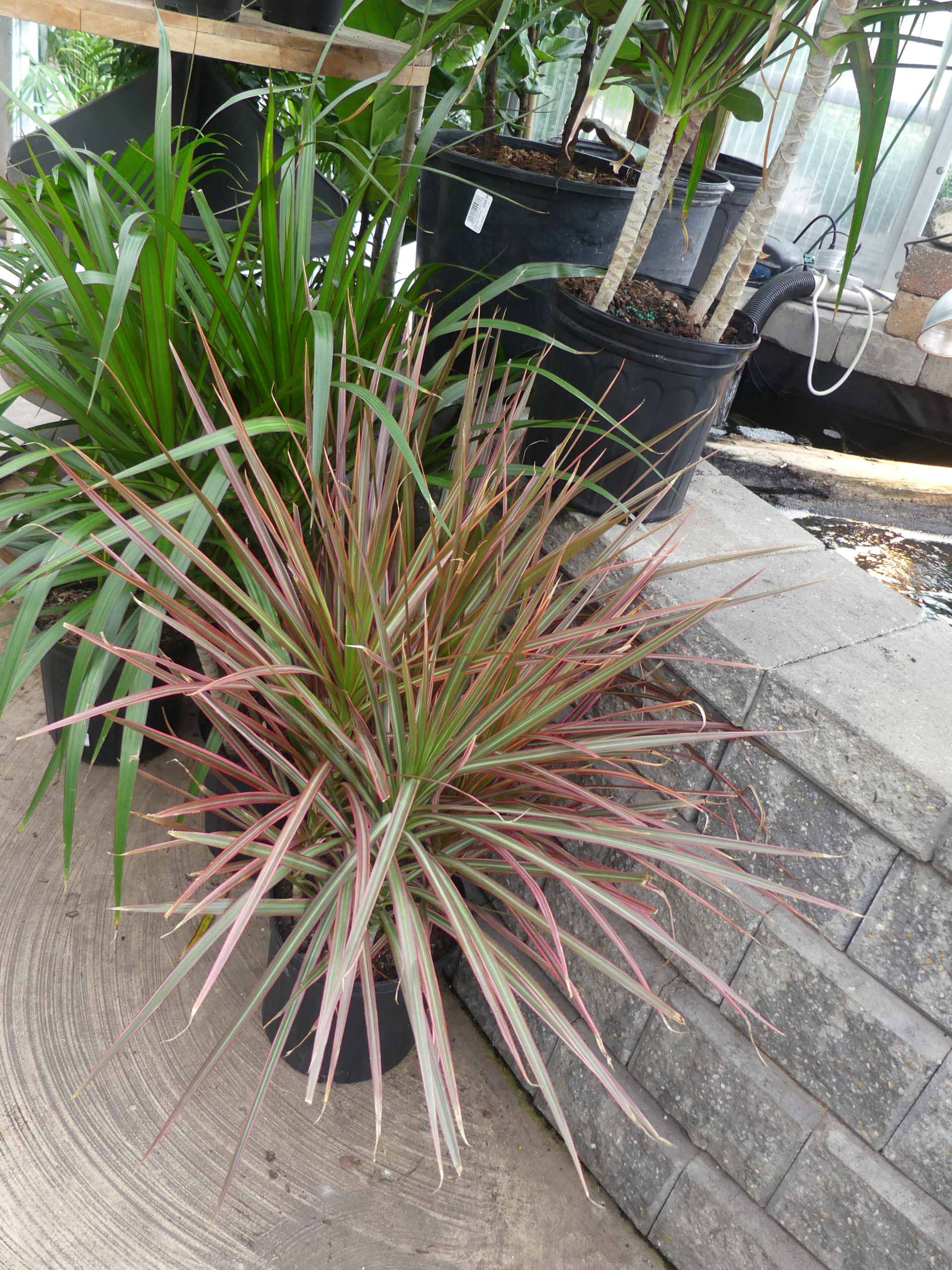 """The Dracaenas are cane plants that are sold with one to five canes rooted in a pot. The """"tricolor"""" variety is a slow grower and the leaf tips with brown with improper watering. The species or """"marginata"""" behind it will grow much faster and will grow in lower light. Plan on repotting annually."""