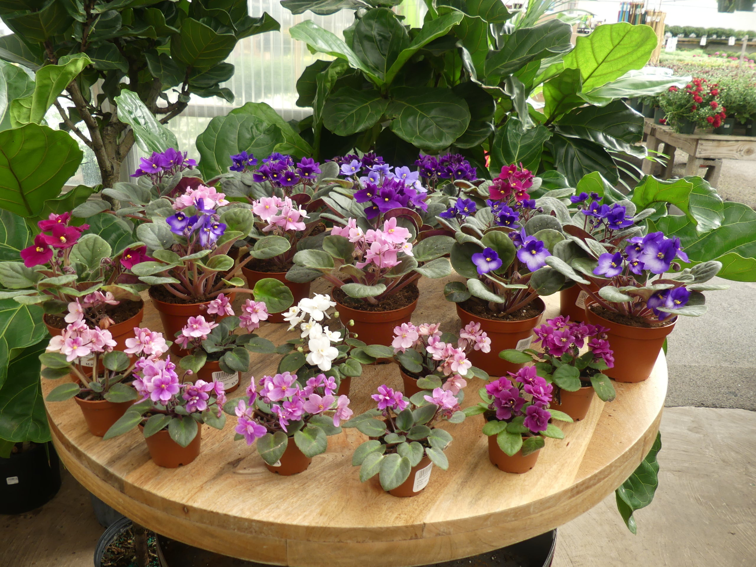 African violets may be somewhat common but they're reliable and can flower for months on end. Never get the leaves wet, and better to give African violets too little water than too much. You can always add more if needed.  ANDREW MESSINGER
