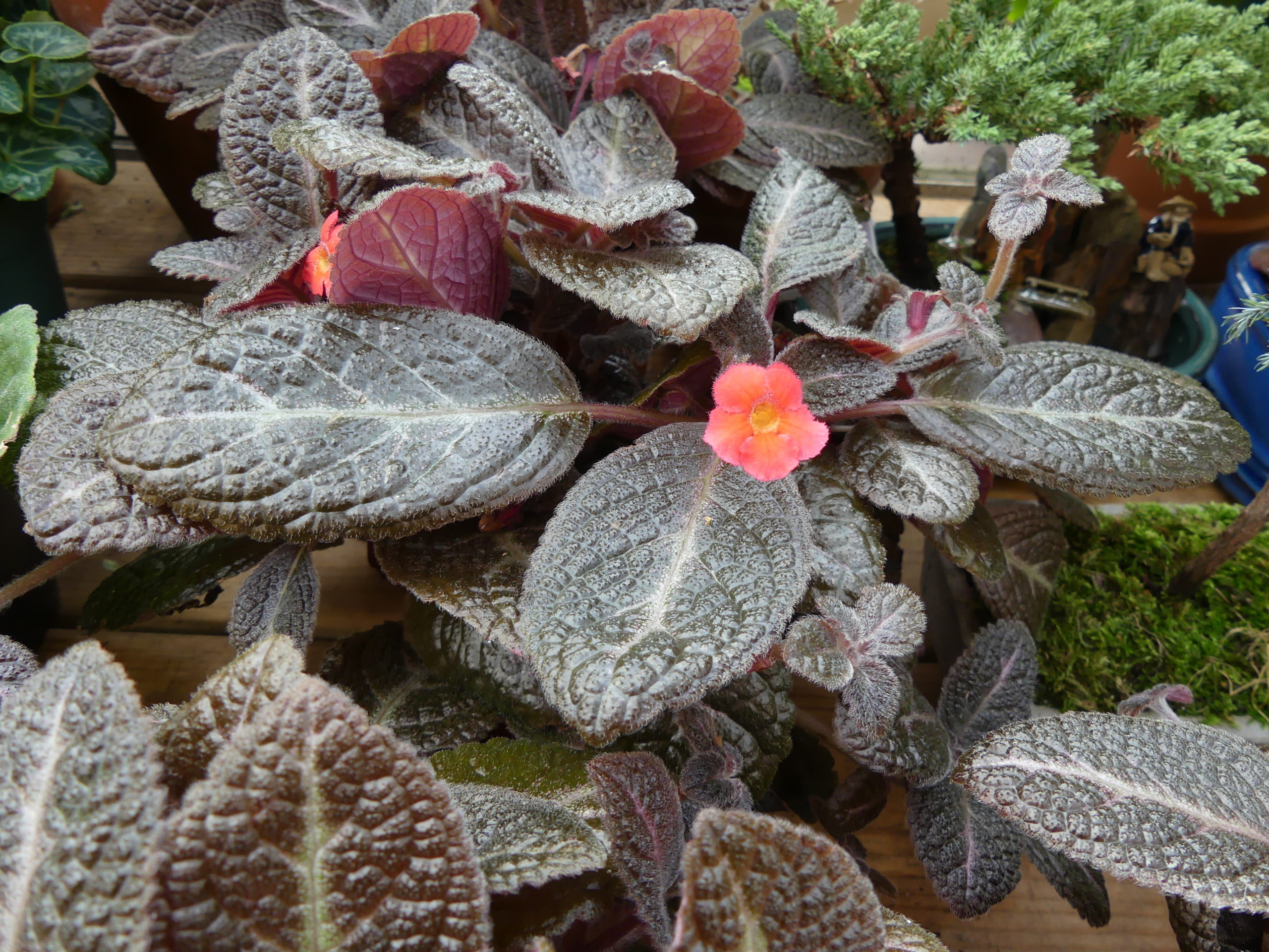 """Episcias like this """"Chocolate Soldier"""" are related to the African violet and are in the same family.  However, only accomplished indoor gardeners should try to grow Episcias as they can be as rewarding as challenging and do best in terrariums."""