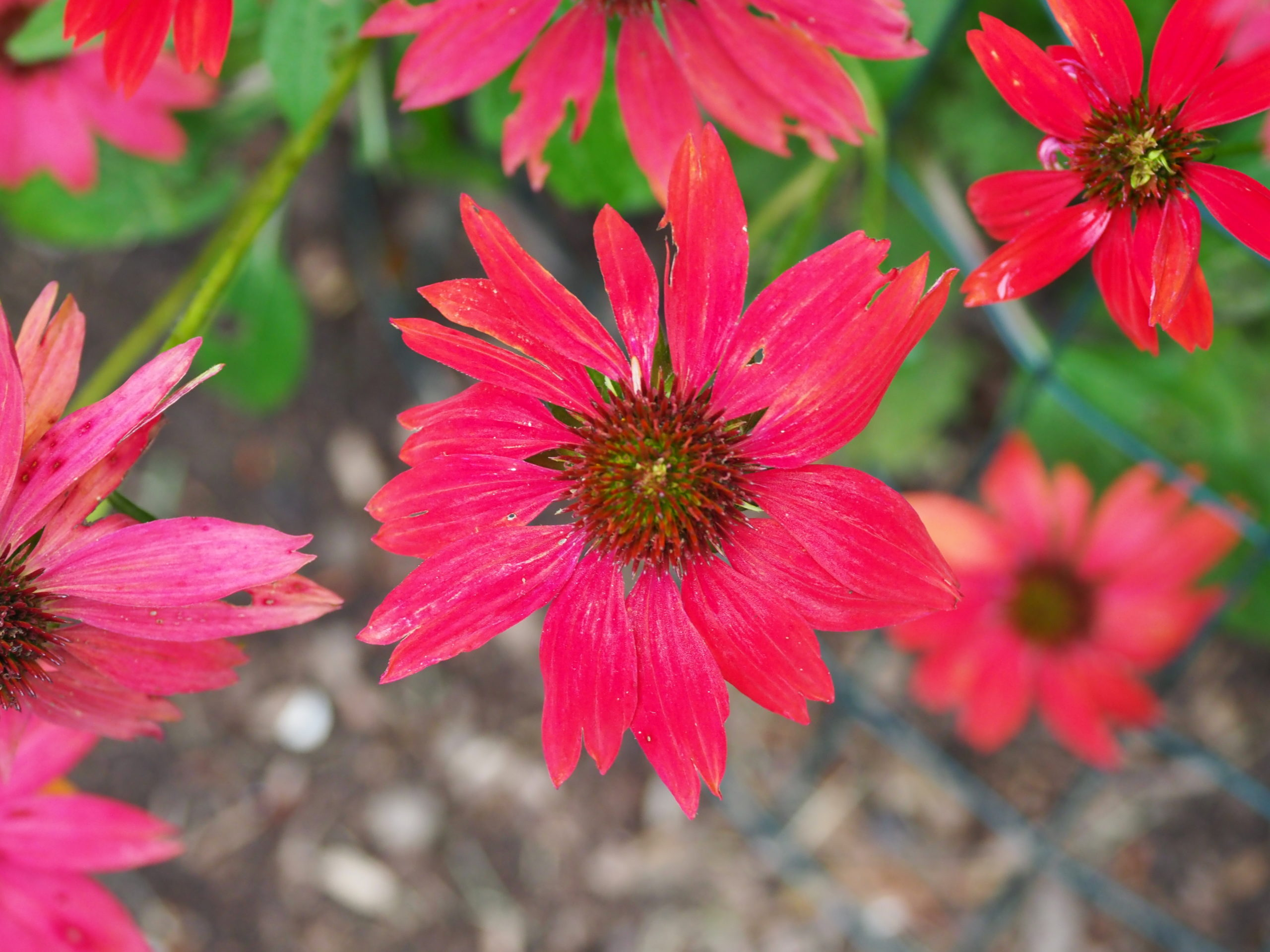 """Echinacea """"Sombrero Salsa Red"""" a bit past its prime looked great in the garden a few weeks earlier but was only visited by groundhogs and no pollinators."""