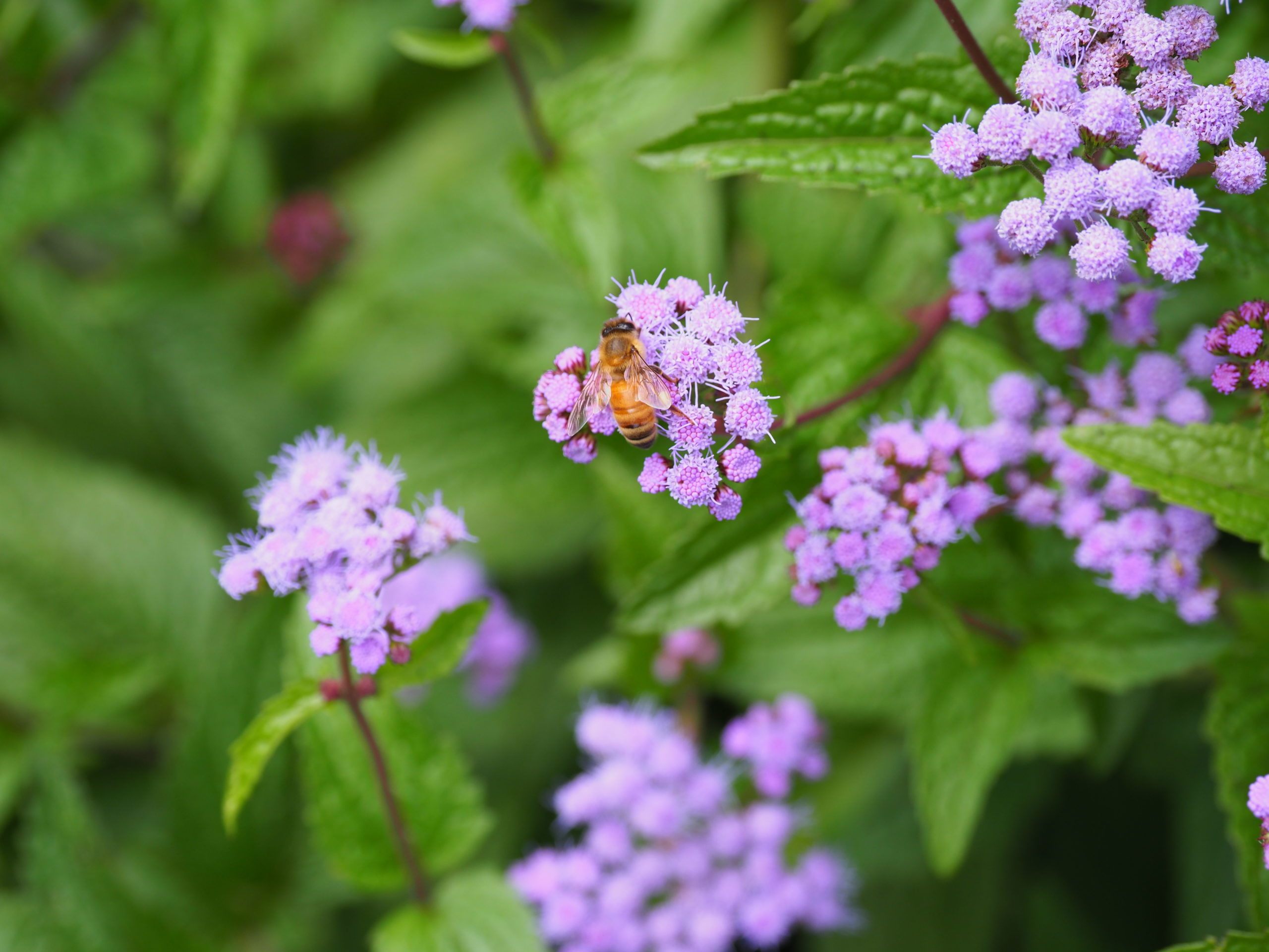 The perennial Ageratum, or blue mistflower, (Conoclinium coacoelestinum) attracts honeybees in late August and September.   ANDREW MESSINGER