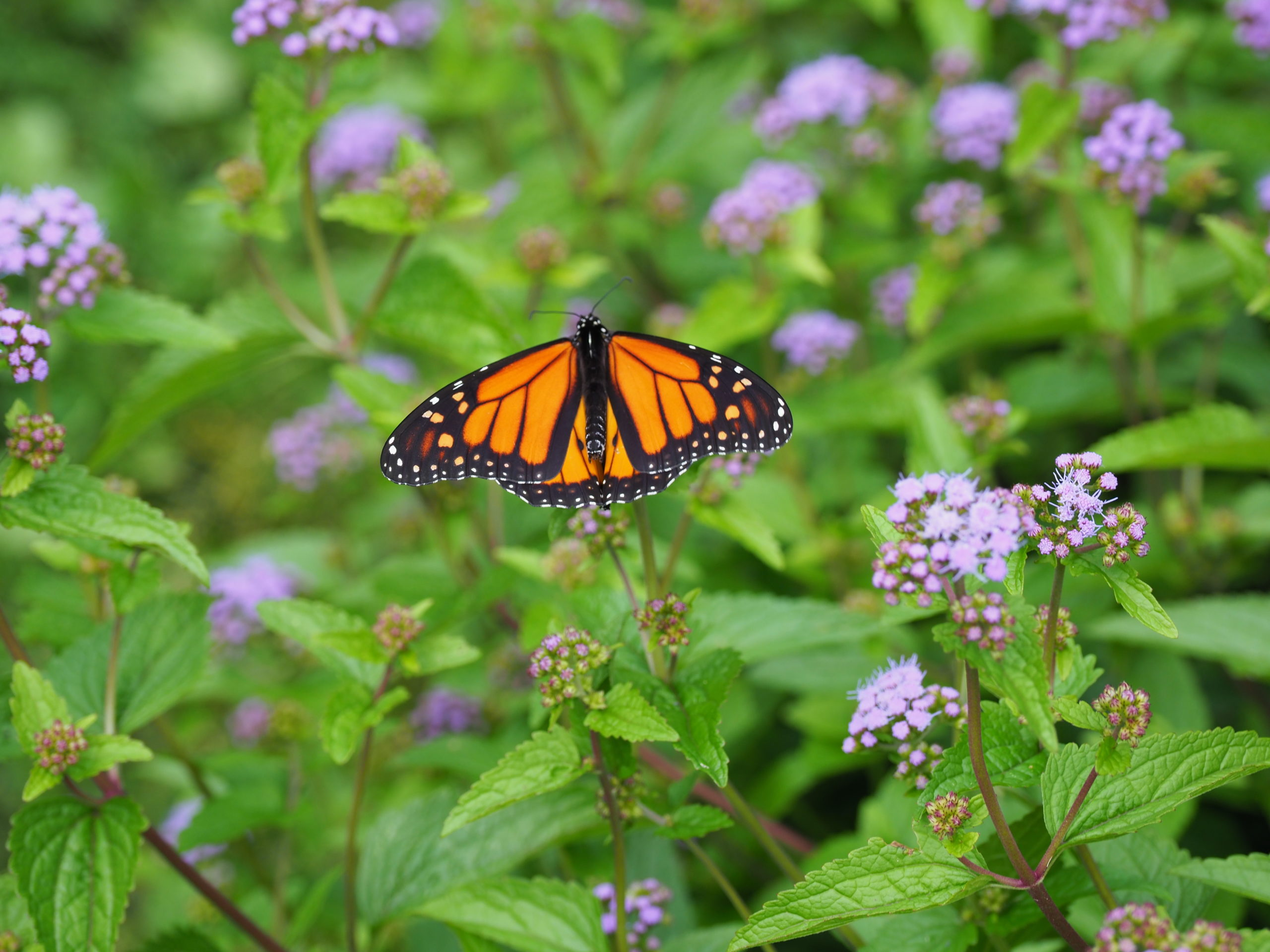 This monarch butterfly spent most of an afternoon in the flowers of the blue mistflower.