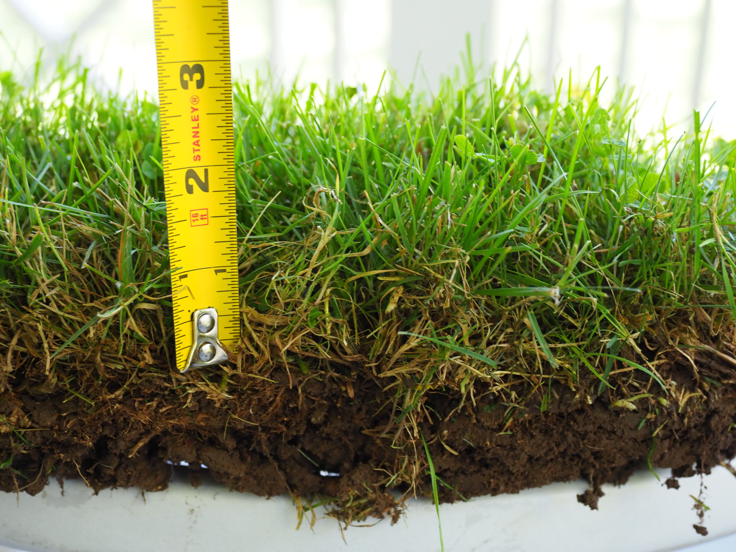 This is the sod profile of the same lawn, weeds included. Cut to about 3 inches, there is a very thin thatch layer of about a half inch (bottom brown). Not bad for 18 years of minimal maintenance. Herbicides and lots more fertilizer would show a very different picture. How thick is your thatch layer? ANDREW MESSINGER
