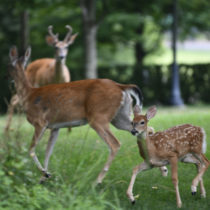 A deadly disease that hits deer has made its way to the East End.