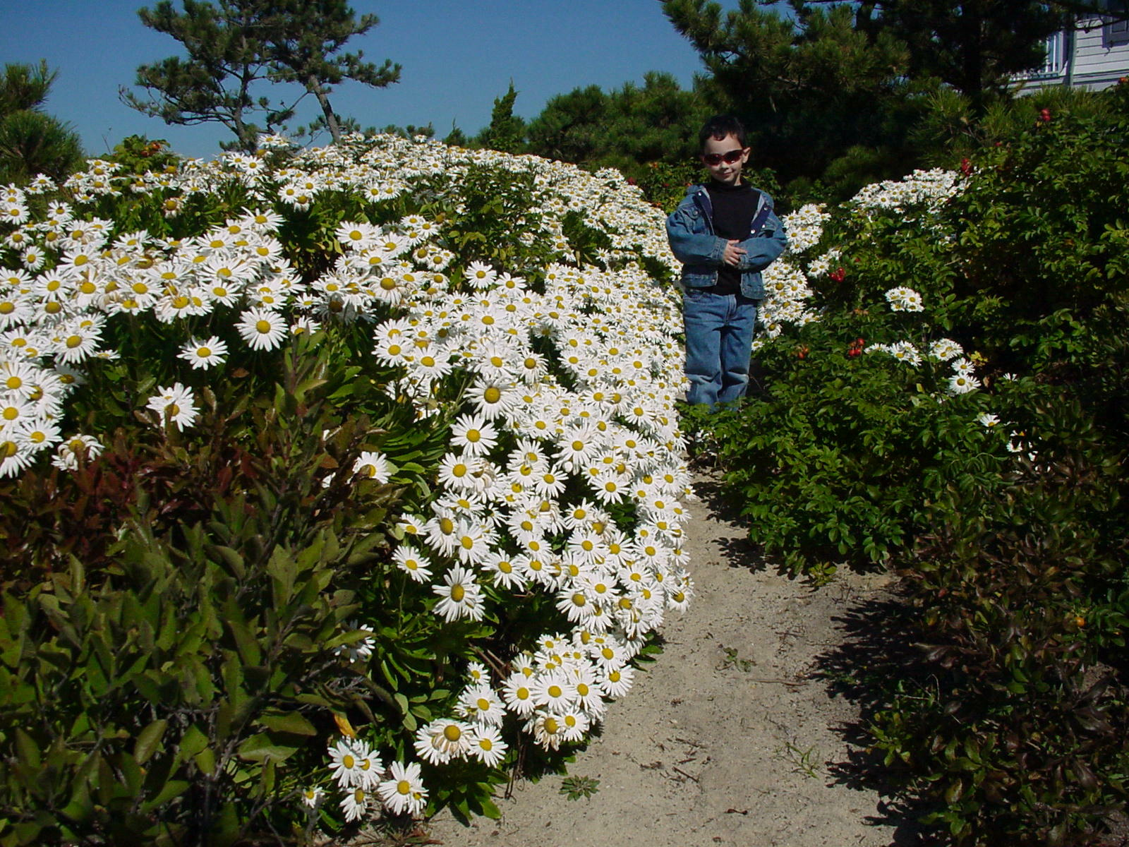 A 4-year-old Hampton Gardener Jr. (now 25) walks down a dune path of Montauk daisies. Note the bright red rose hips from the Rosa rugosa to his right. ANDREW MESSINGER
