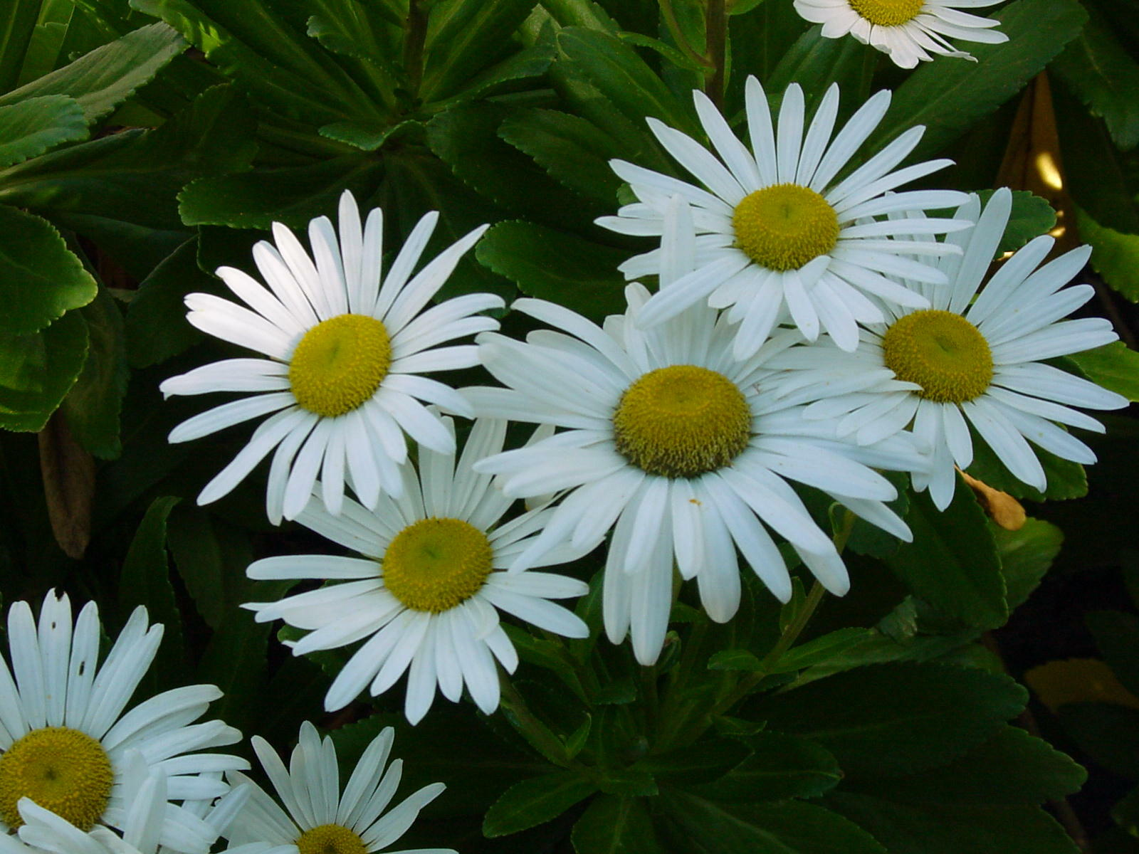 Blooming now in a garden near you, the famous Montauk daisy, native to Japan but naturalized along the sandy shores of the East End. Disease and insect free, a great pollinator and a late feeding spot for honeybees and monarch butterflies. Sorry, only available in white.