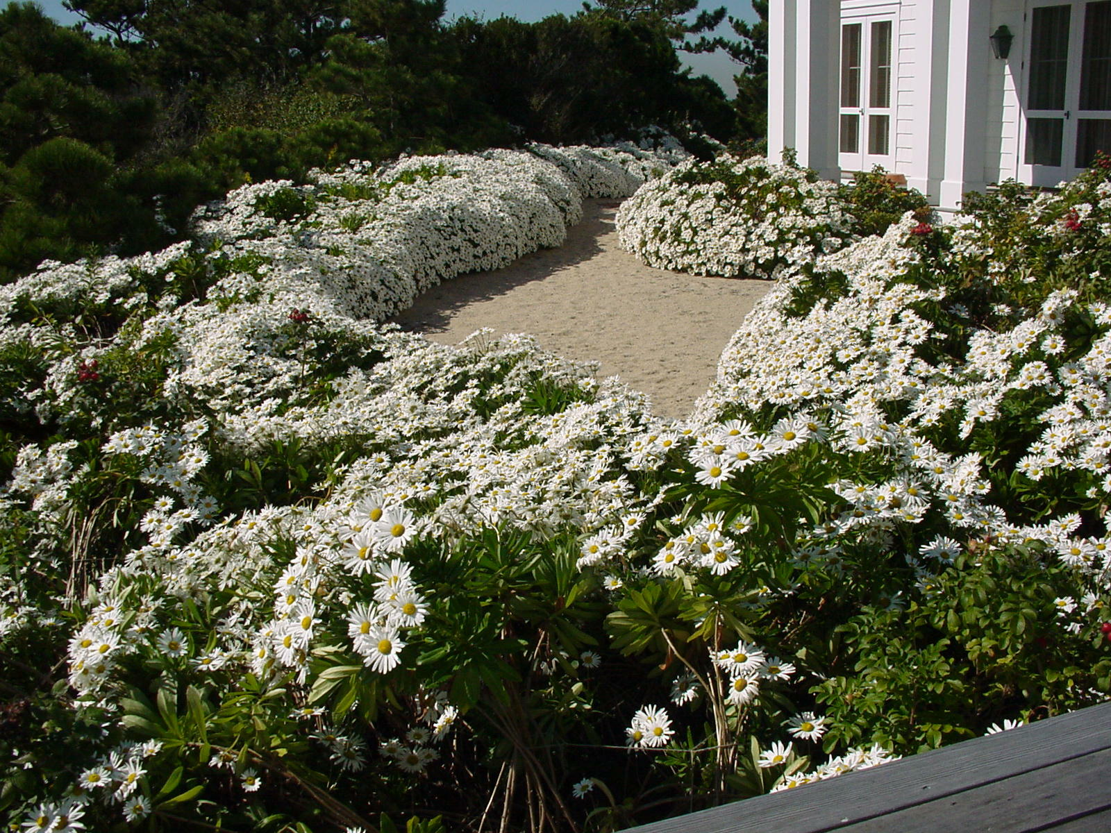 A mass planting of Montauk daisies on the ocean-facing side of a Southampton home.  Notice the plants are growing in pure beach sand and the plants are tight and not falling over in this mid-October shot.