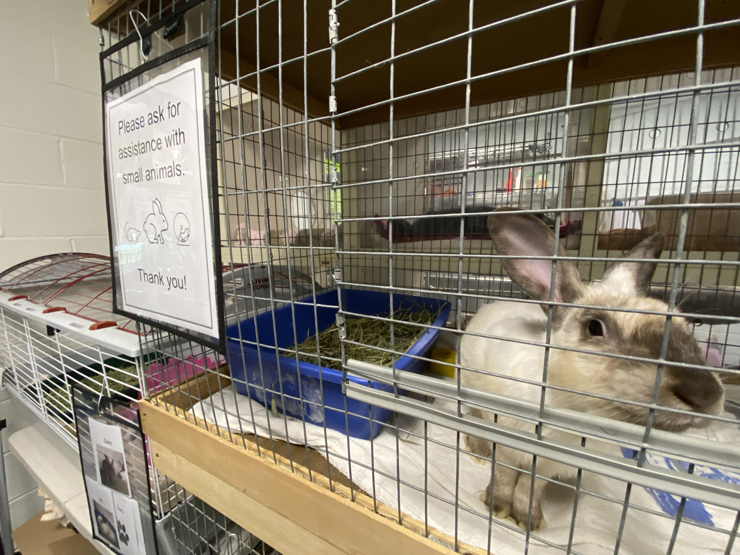 Billy is one of the rabbits currently residing at the shelter.  DANA SHAW