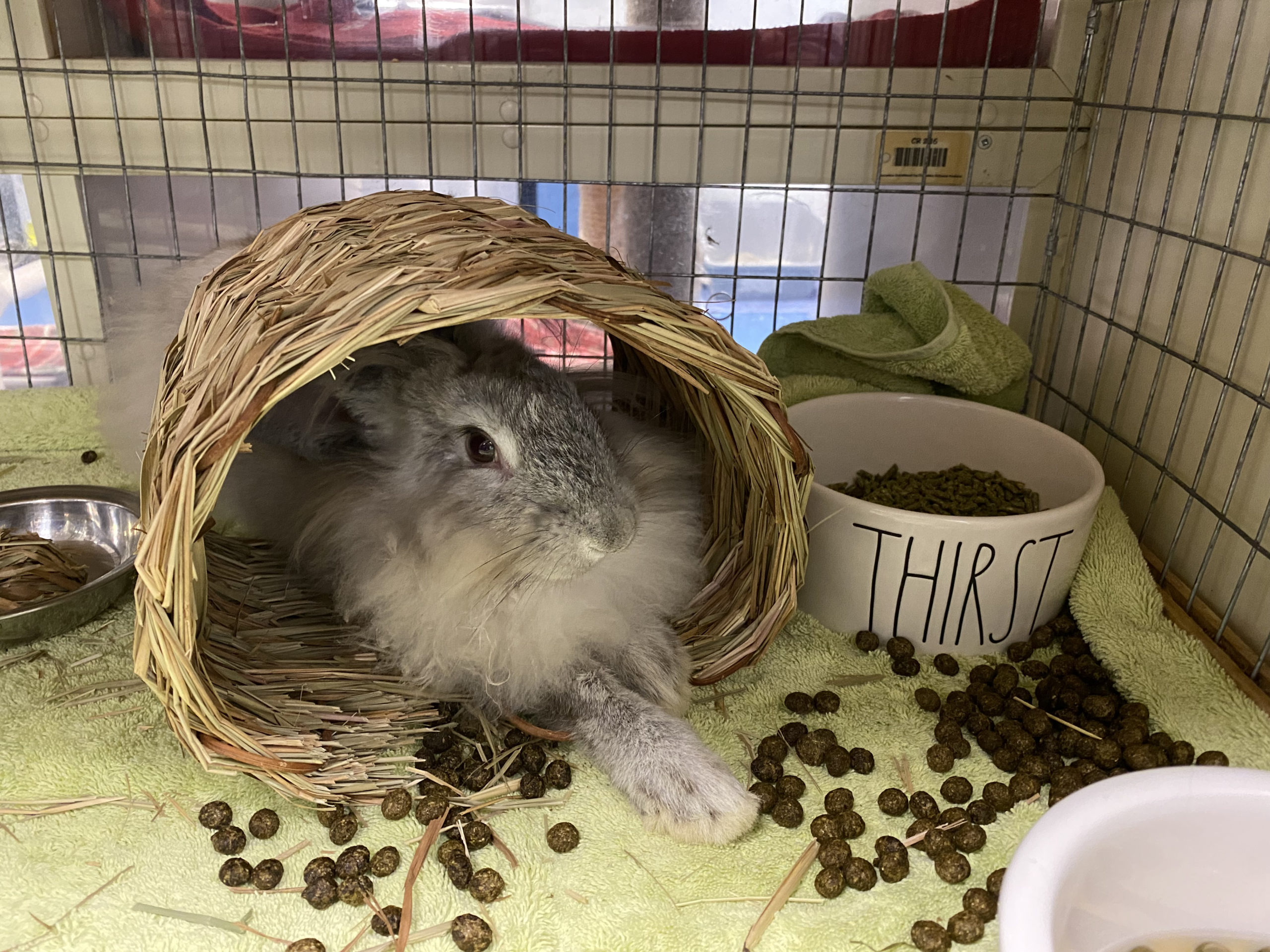 Winafred is another rabbit up for adoption at the Southampton Animal Shelter.   DANA SHAW