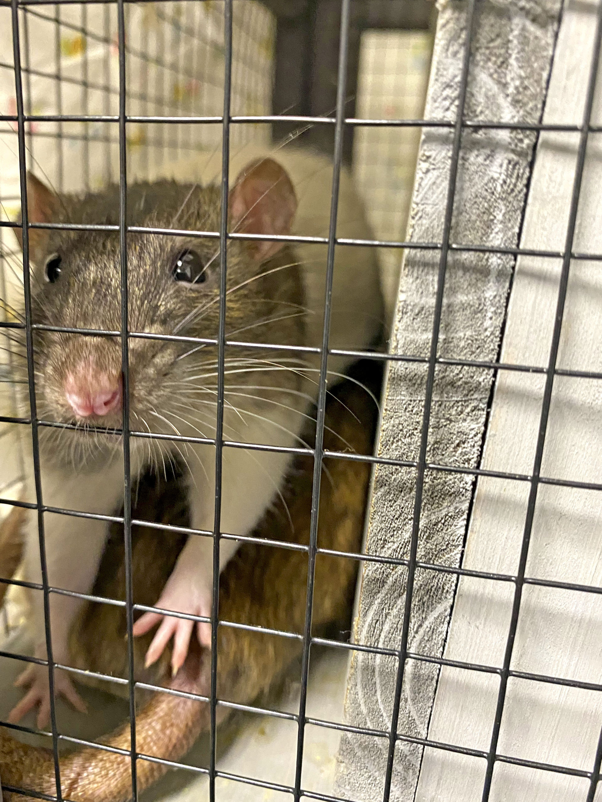 The Southampton Animal Shelter has many other small animals that have been surrendered like rats and Guinea pigs.    DANA SHAW