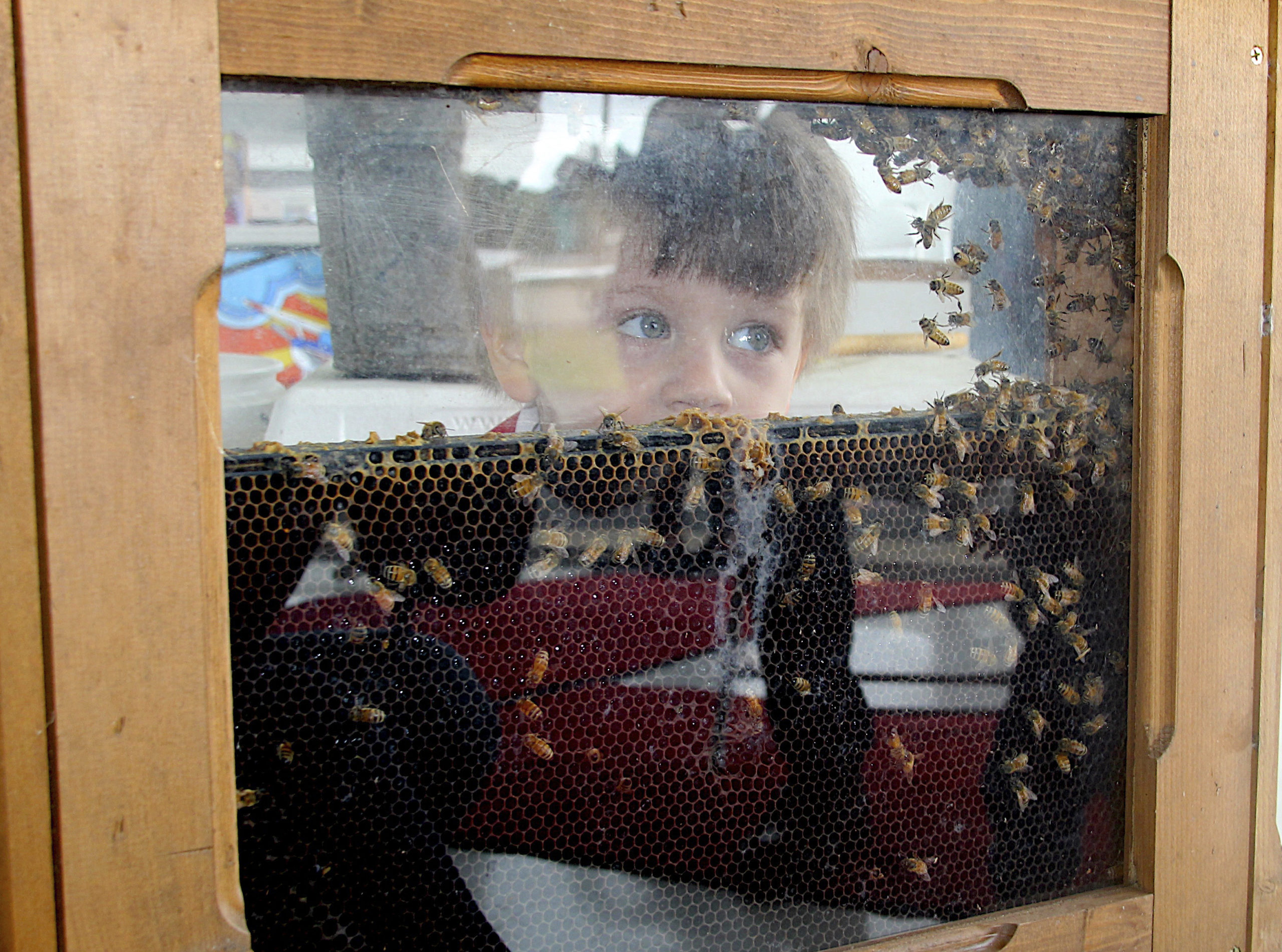 Camden Lipp watches honey bees in action at the Honey Harvest Fest hosted by Sound Aircraft Services at the East Hampton Airport.  KYRIL BROMLEY